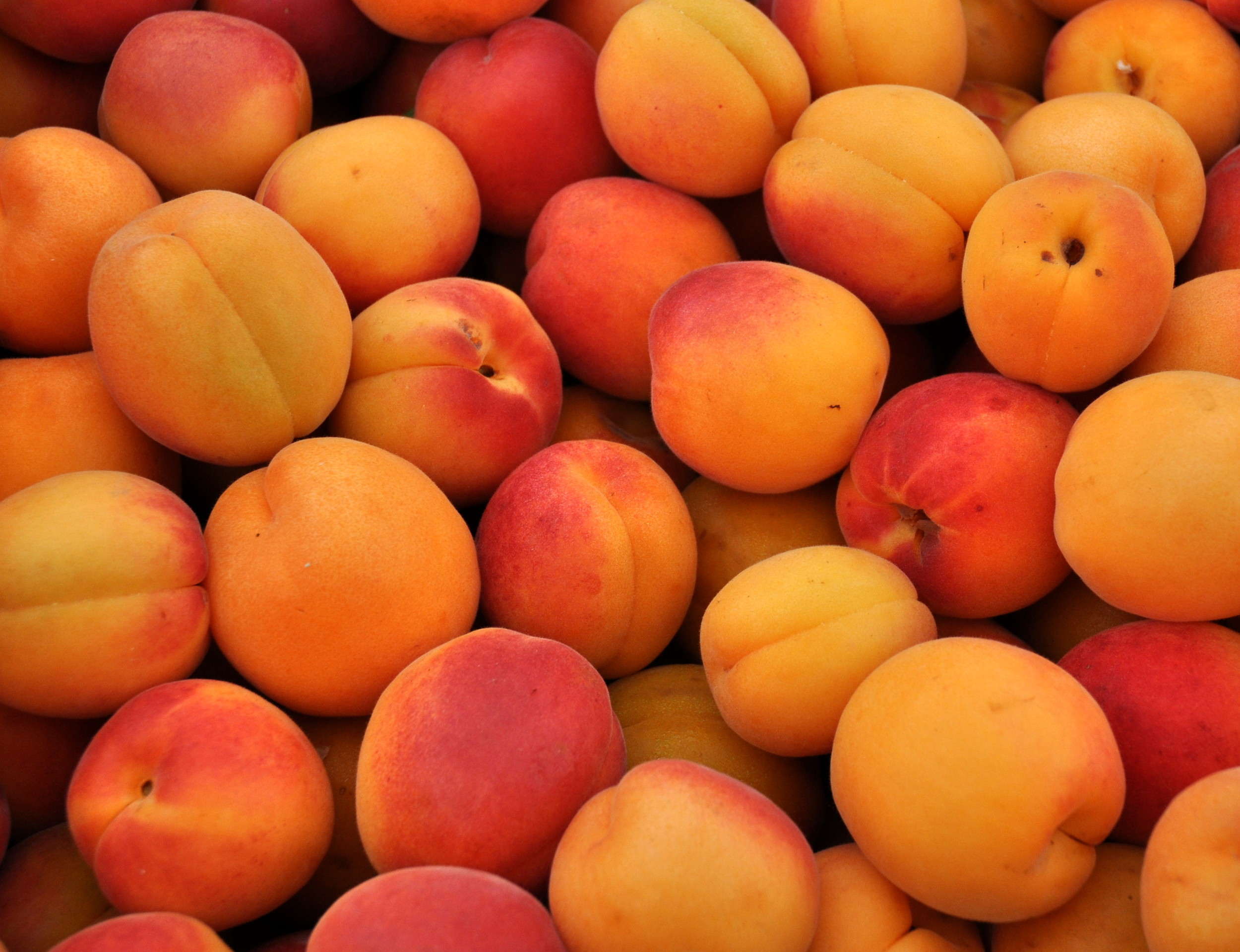 Gold Rich apricots from ACMA Mission Orchards. Photo copyright 2013 by Zachary D. Lyons.