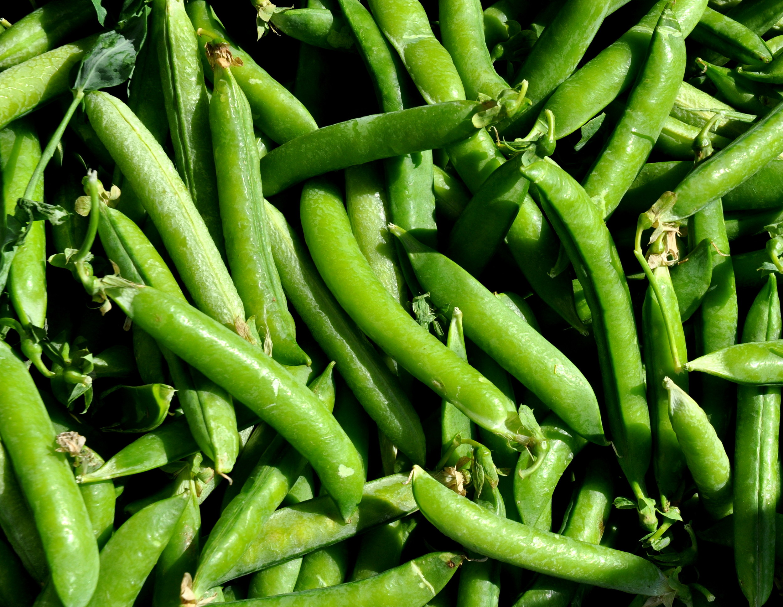 English shelling peas from Alm Hill Gardens. Photo copyright 2013 by Zachary D. Lyons.