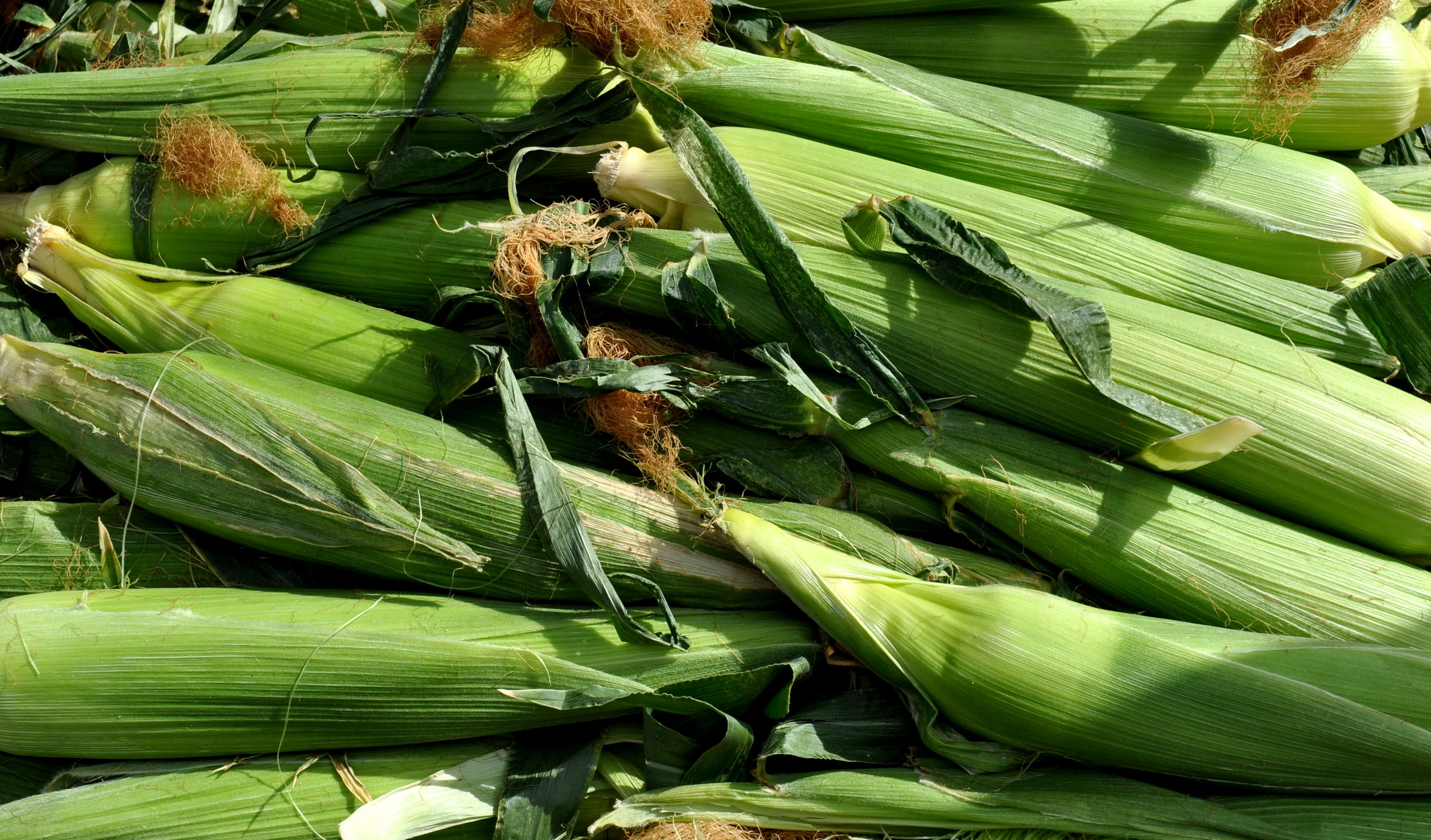 Organic sweet corn from Alvarez Organic Farms. Photo copyright 2013 by Zachary D. Lyons.