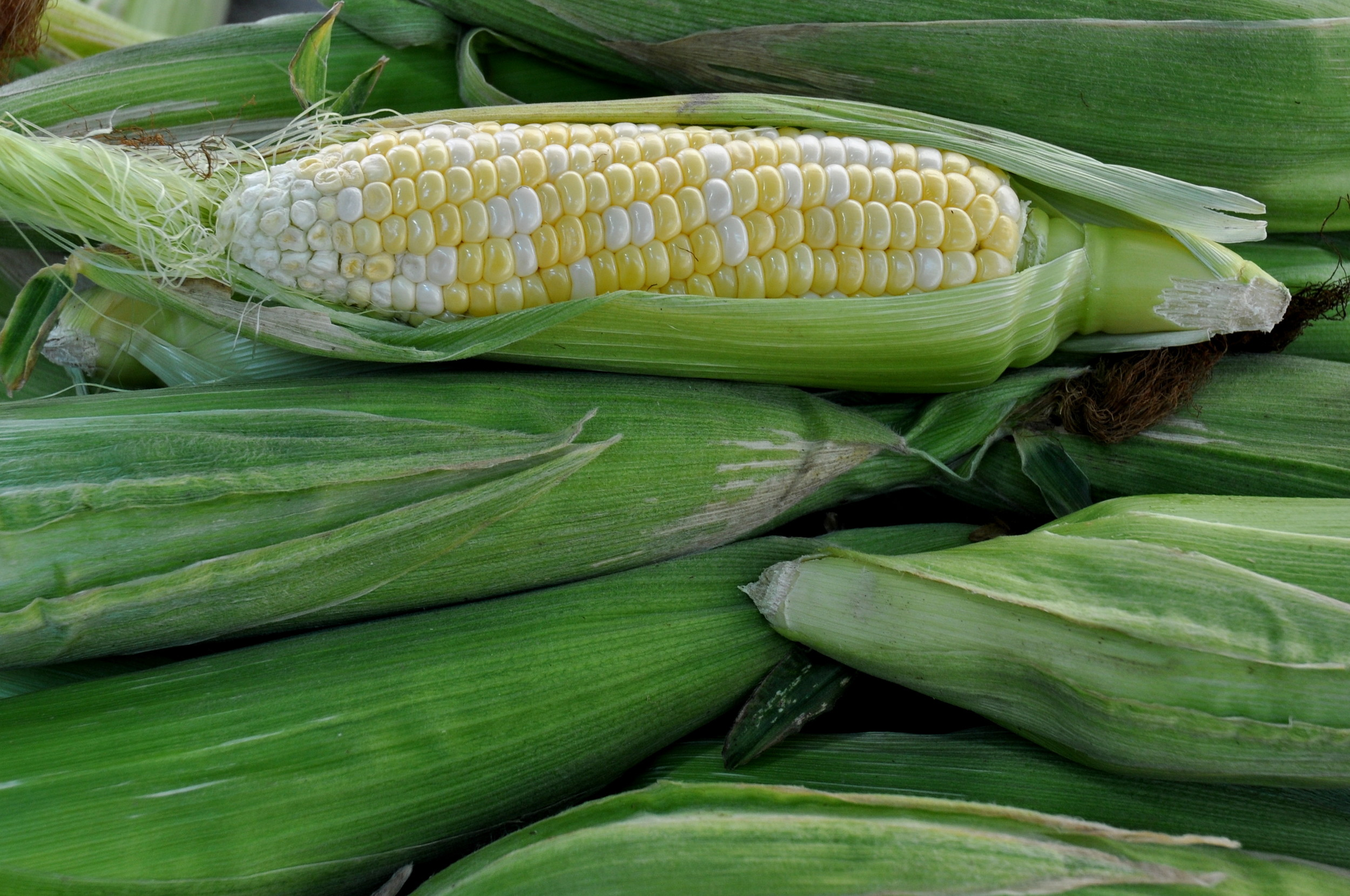 Sweet corn from Alm Hill Gardens. Photo copyright 2013 by Zachary D. Lyons.