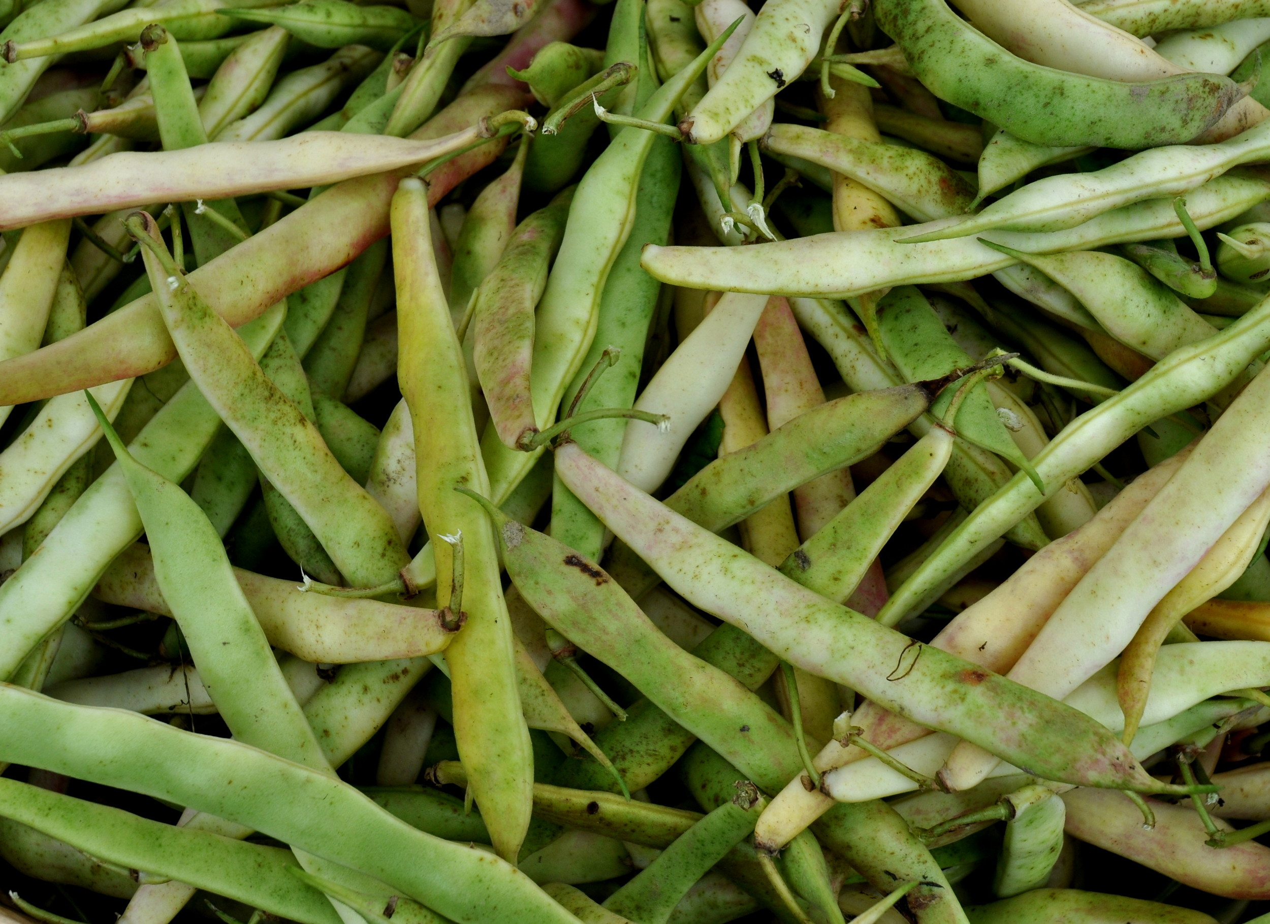 Fresh cannellini shelling beans from One Leaf Farm. Photo copyright 2013 by Zachary D. Lyons.