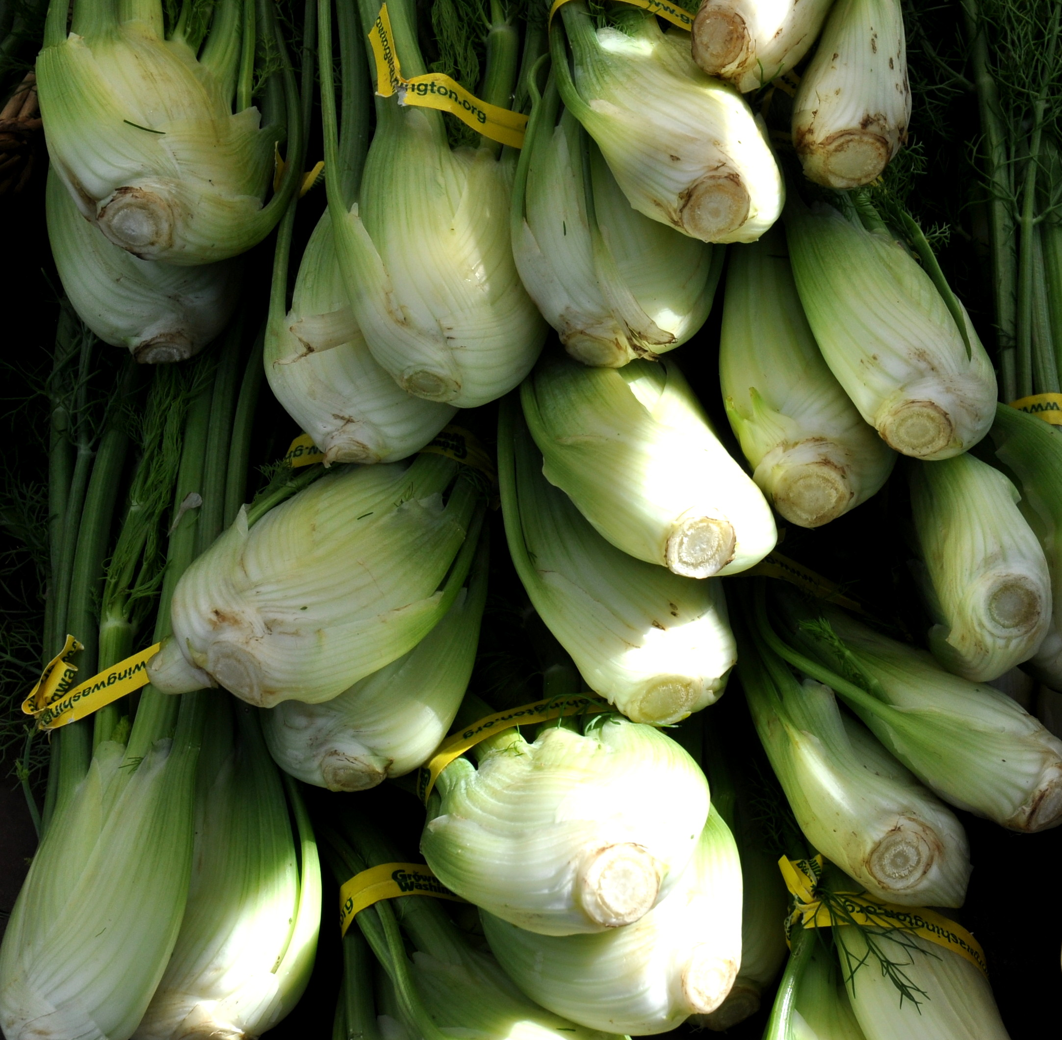 Fennel from Alm Hill Gardens. Photo copyright 2014 by Zachary D. Lyons.