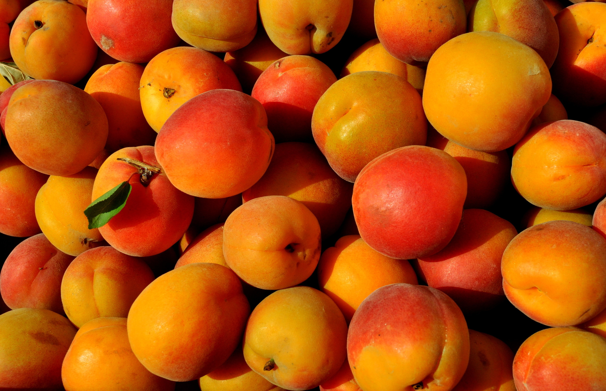 Tomcot apricots from Lyall Farms.. Photo copyright 2014 by Zachary D. Lyons.