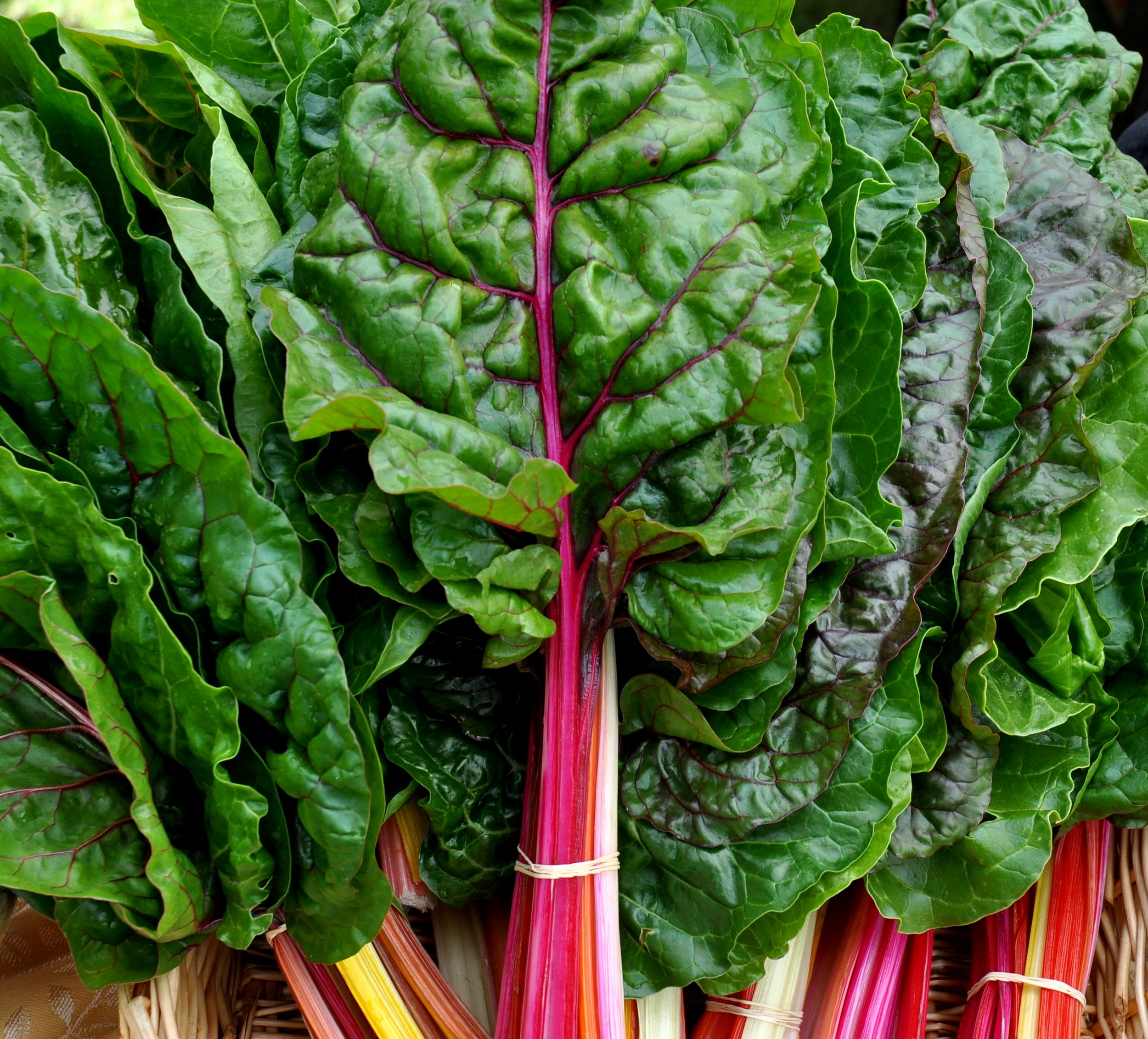 Rainbow chard from Seattle Youth Garden Works. Photo copyright 2014 by Zachary D. Lyons.