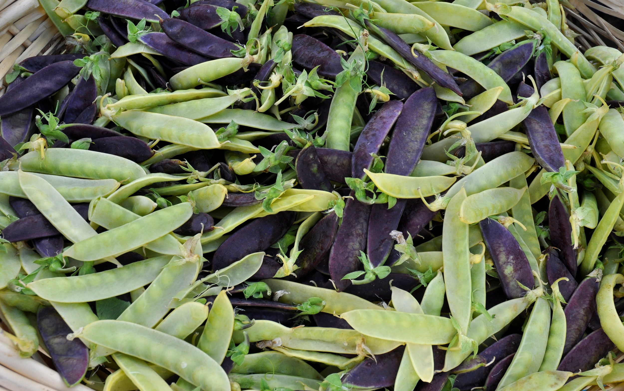 Exotic snow peas from Alm Hill Gardens. Photo copyright 2014 by Zachary D. Lyons.