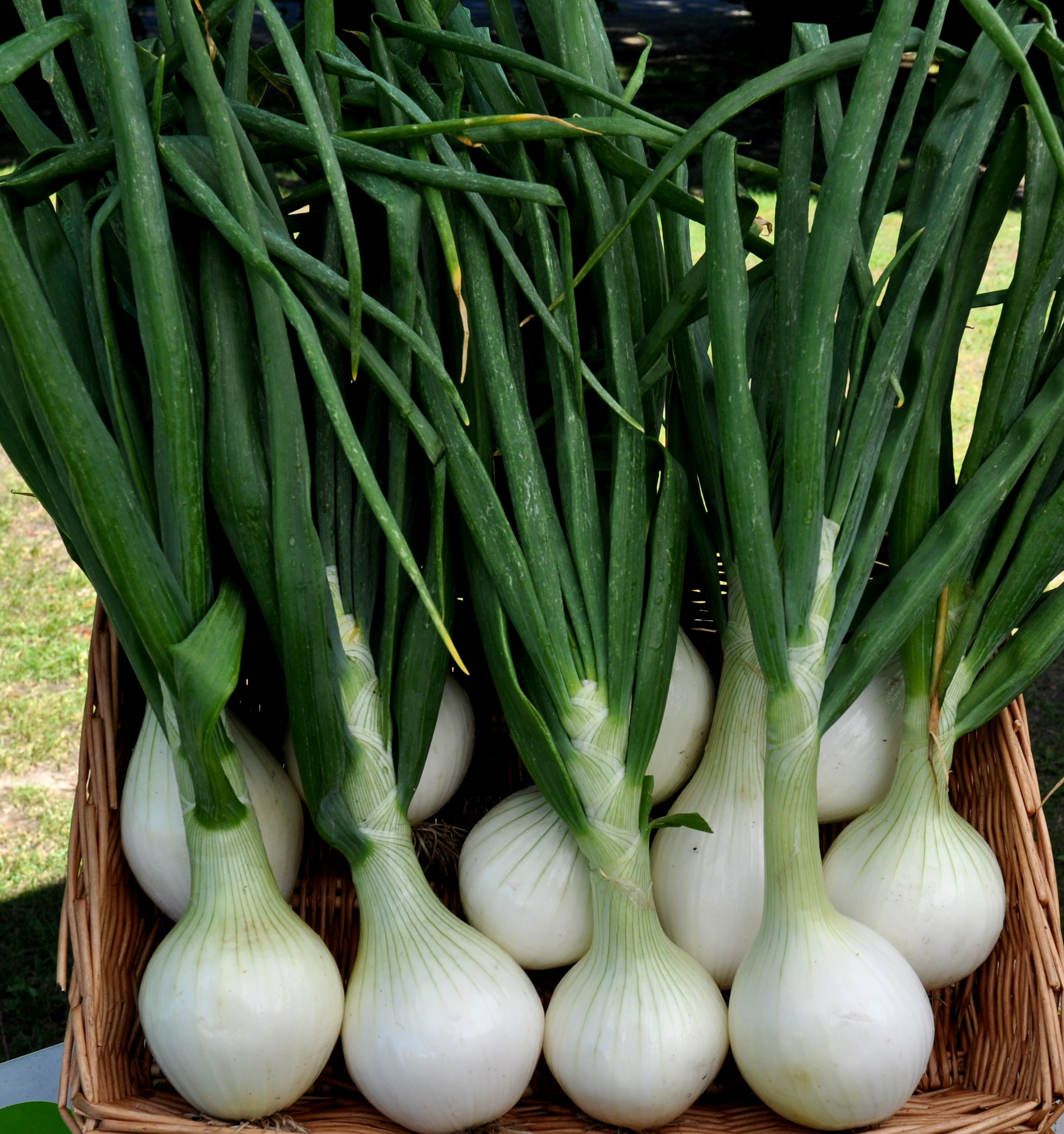 Sweet onion from Seattle Youth Garden Works. Photo copyright 2014 by Zachary D. Lyons.