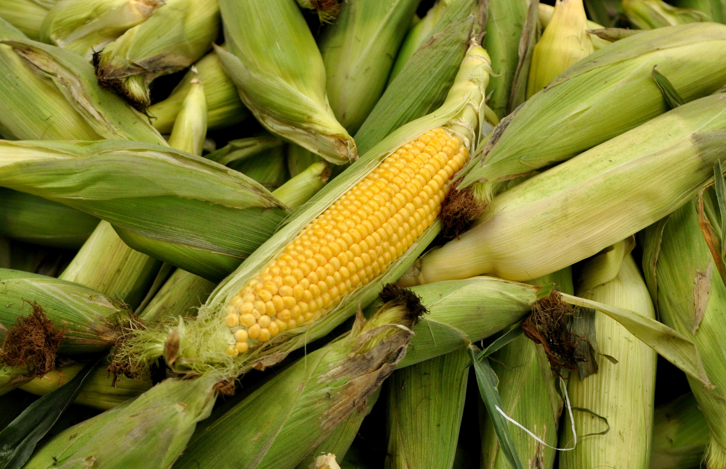 Basin 'R' Yellow Sweet Corn from Lyall Farms. Copyright Zachary D. Lyons.