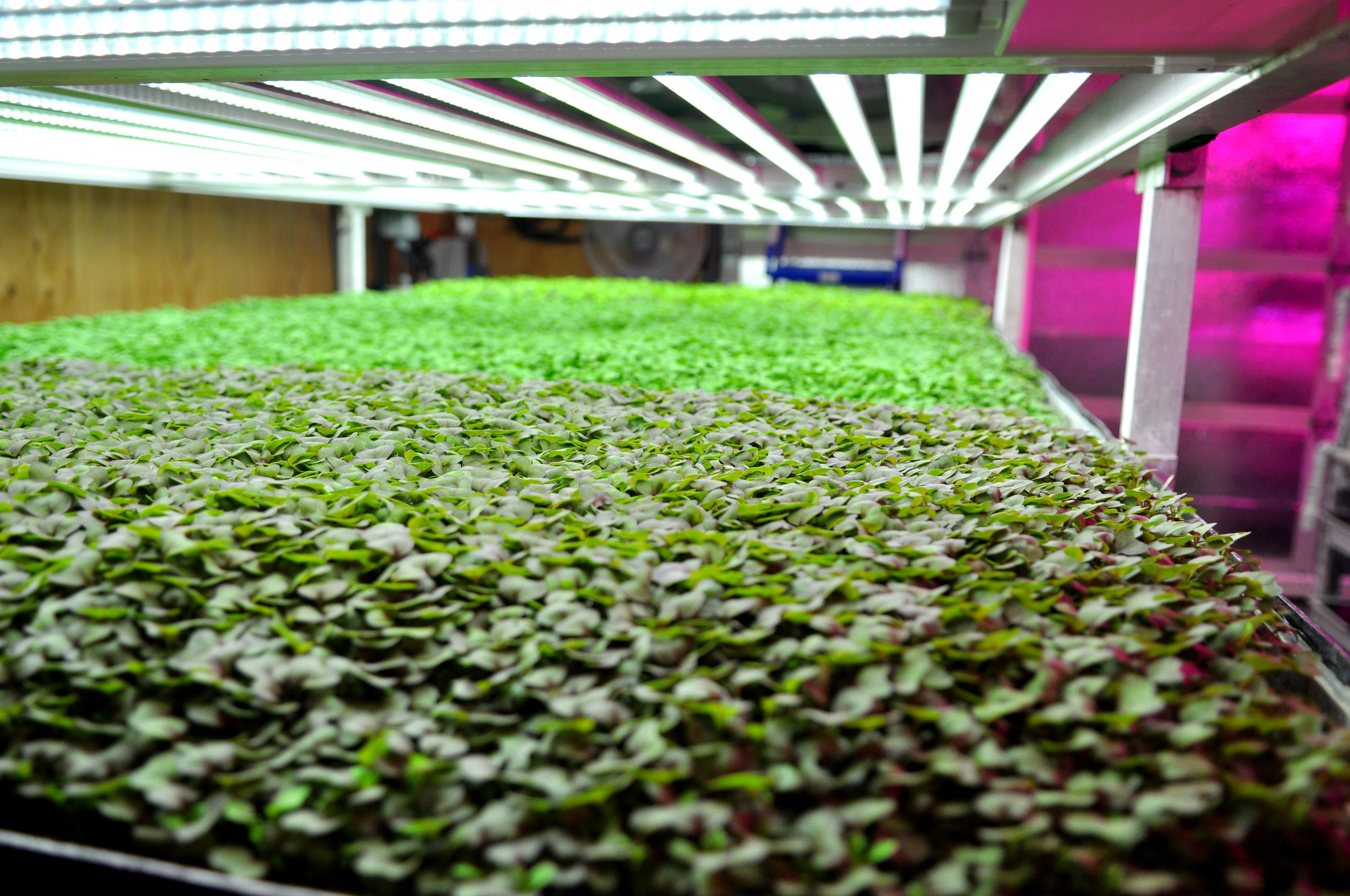 The vertical urban farm of Farmbox MIcrogreens. Copyright Zachary D. Lyons.