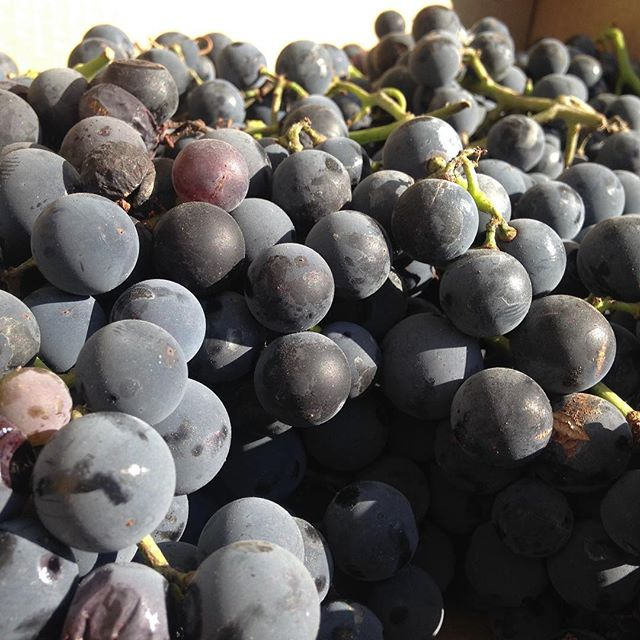 Concord grapes via #lyallfarms #sfmamarkets #madronafarmersmarket