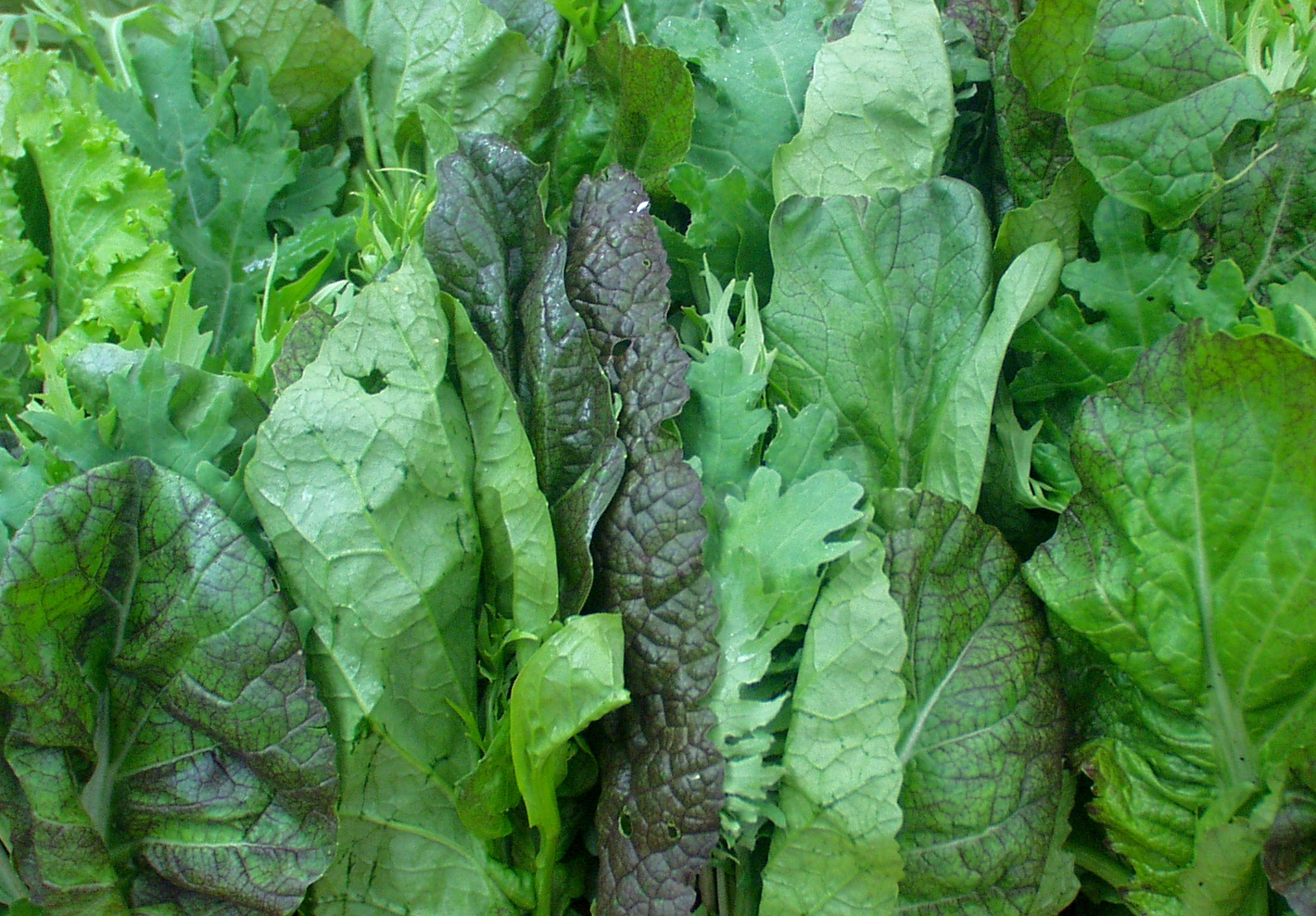 Beautiful bundles of braising greens, including mustards and kales, from Port Townsend's Collinwood Farms. Photo copyright 2009 by Zachary D. Lyons.