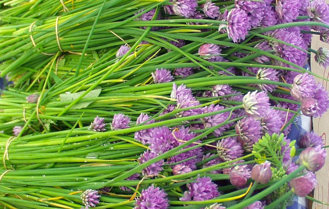 Flowering chives from Children's Garden. Photo copyright 2009 by Zachary D. Lyons.