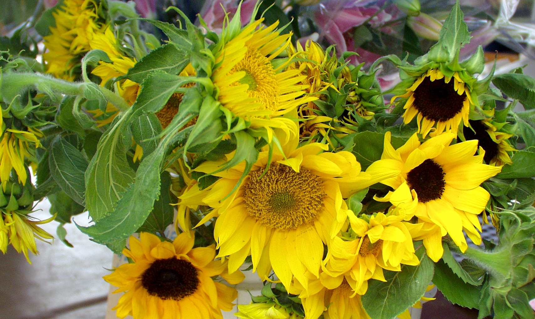 Magnificent Alm Hill sunflowers. Photo copyright 2009 by Zachary D. Lyons.
