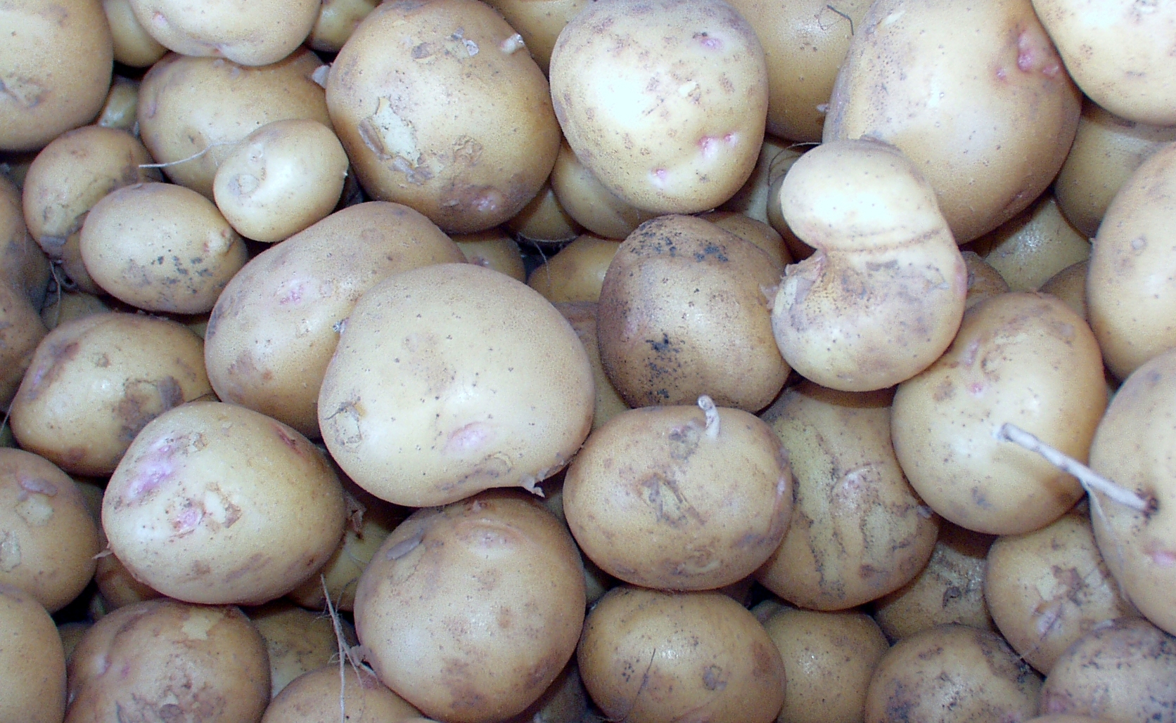 New Yukon Gold potatoes from Alvarez Organic Farms. Photo copyright 2009 by Zachary D. Lyons.