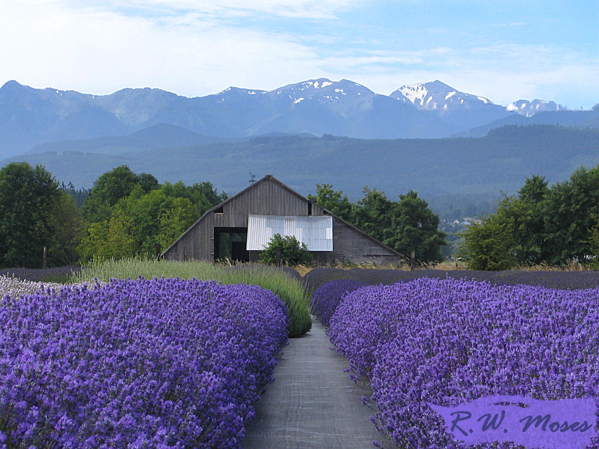 Lavender in full-bloom in Sequim. Photo copyright 2009 by Robin Moses. Used with permission.