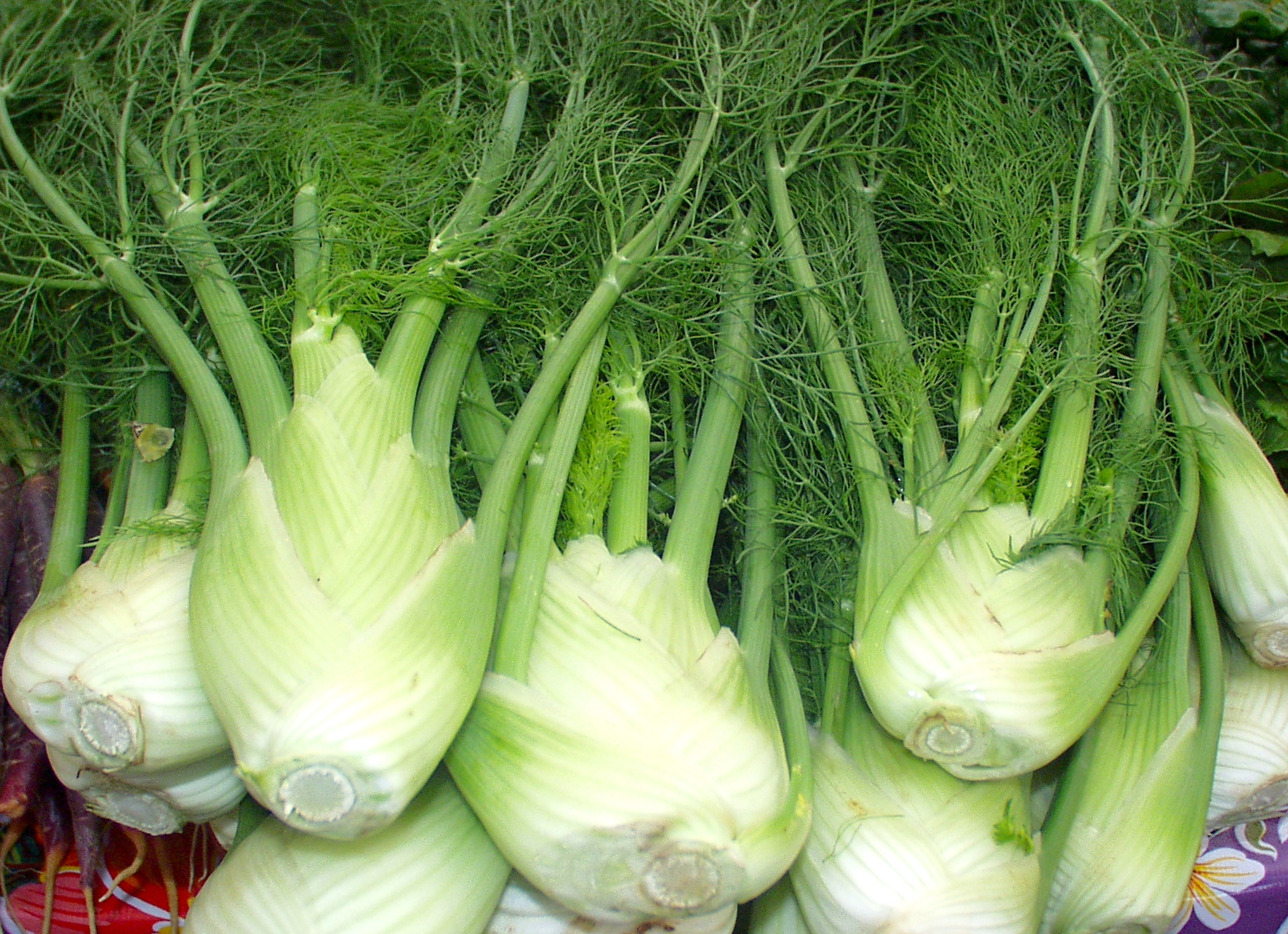 Oxbow Farm fennel. Photo copyright 2009 by Zachary D. Lyons.