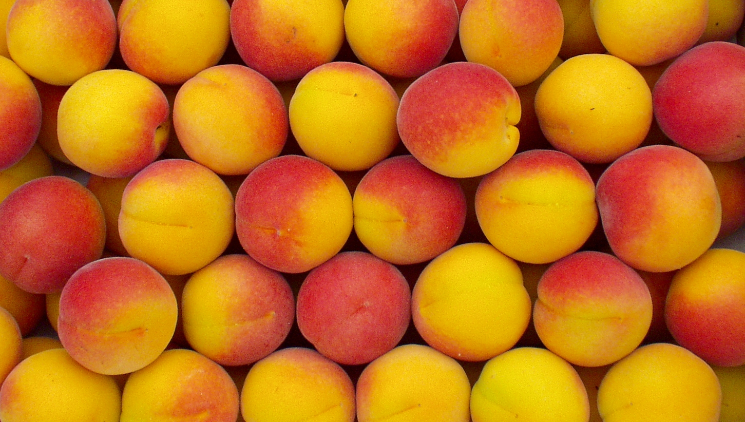 Gogeous Riland apricots from Pipitone Farm. Photo copyright 2009 by Zachary D. Lyons.