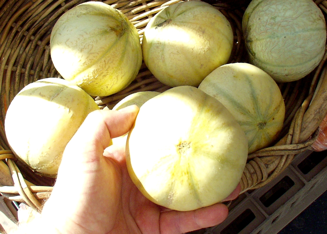 French Musk melons from Full Circle Farm. Photo copyright 2009 by Zachary D. Lyons.