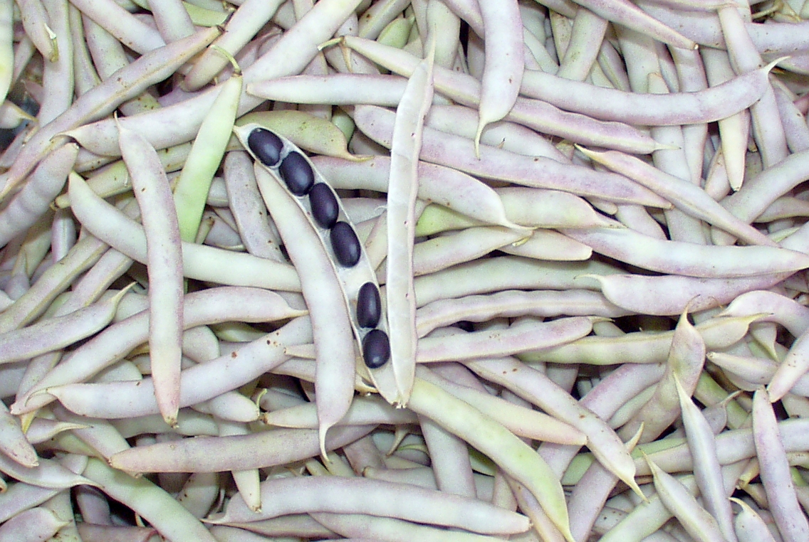 Black turtle shelling beans from Growing Things. Photo copyright 2009 by Zachary D. Lyons.