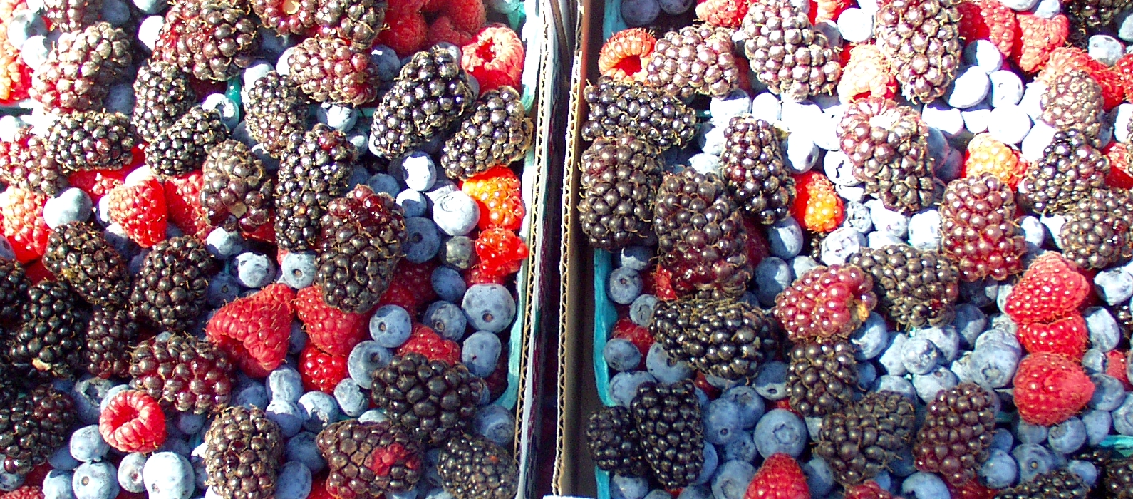 A colorful mix of berries from Jessie's Berries. Photo copyright 2009 by Zachary D. Lyons.