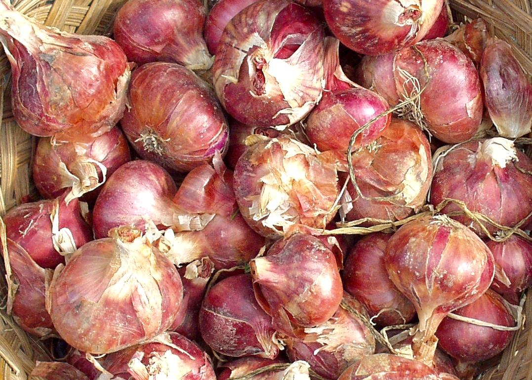 Local Roots shallots. Photo copyright 2009 by Zachary D. Lyons.