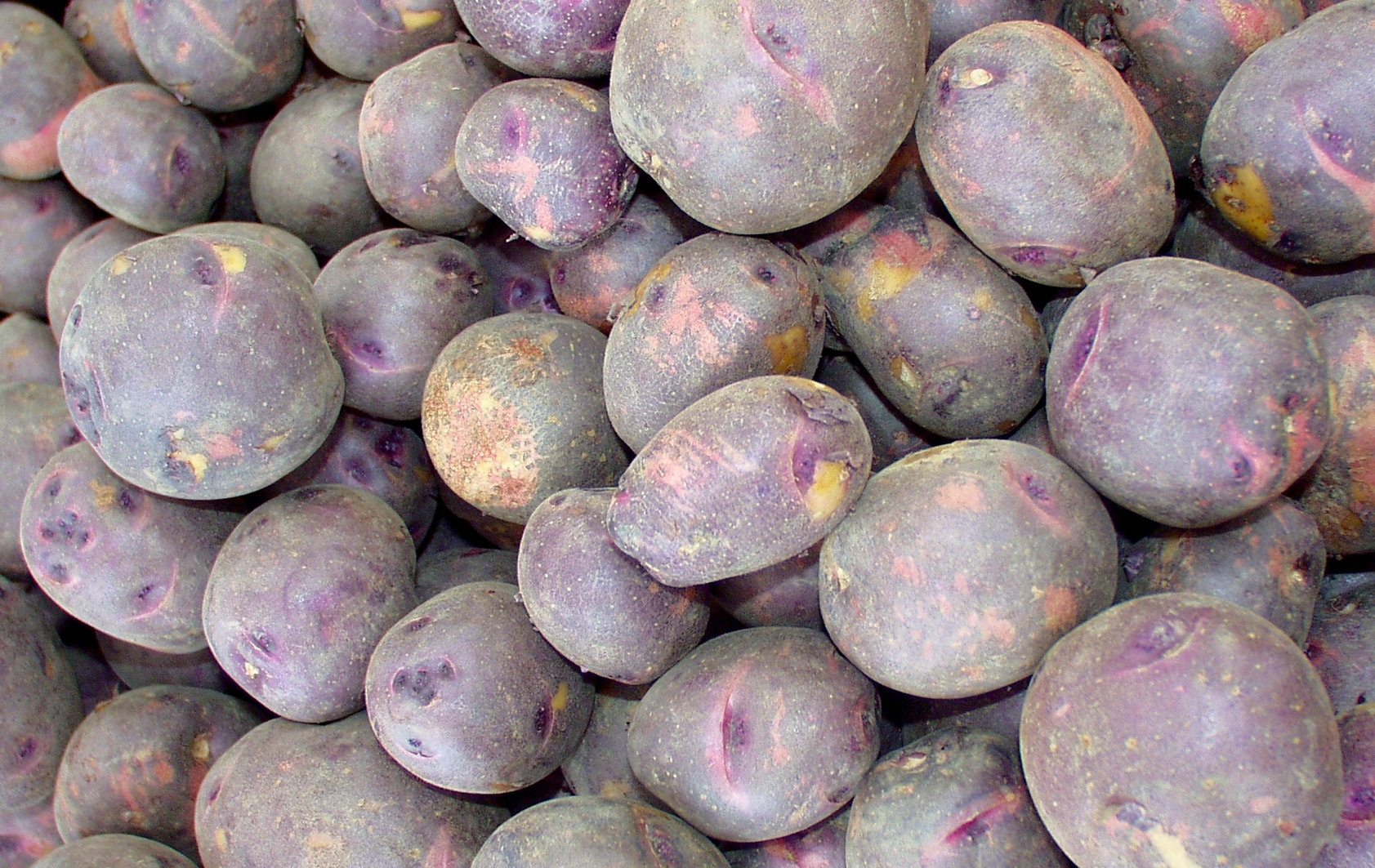 Viking purple potatoes from Olsen are perfect for Ballard. Photo copyright 2009 by Zachary D. Lyons.