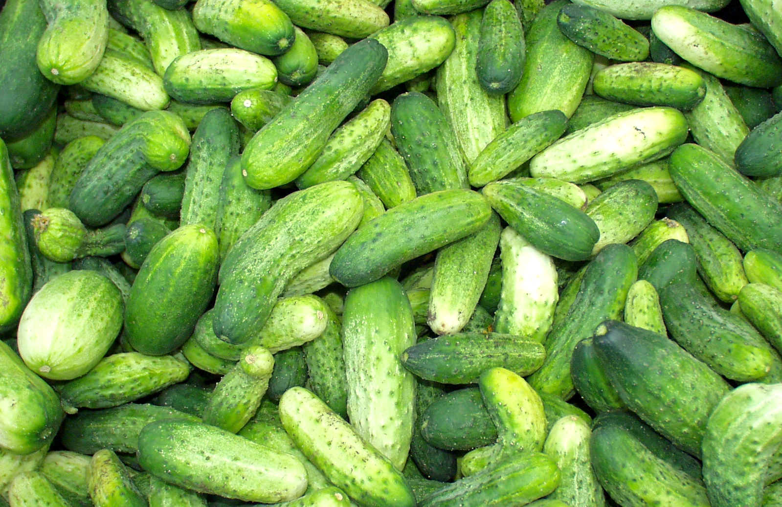 Pickling cukes from Stoney Plains. Photo copyright 2009 by Zachary D. Lyons.