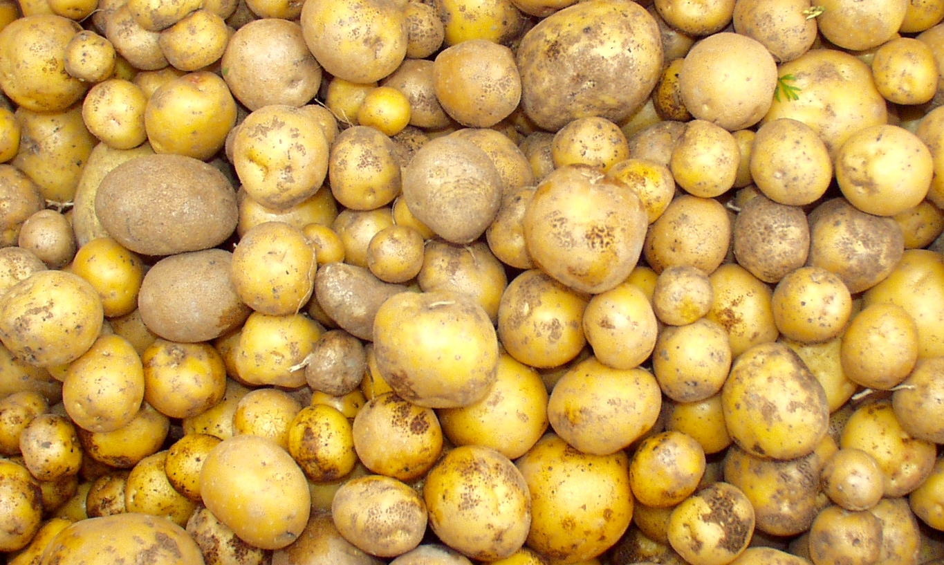 Skagit Valley Gold potatoes from Nature's Last Stand. Photo copyright 2009 by Zachary D. Lyons.