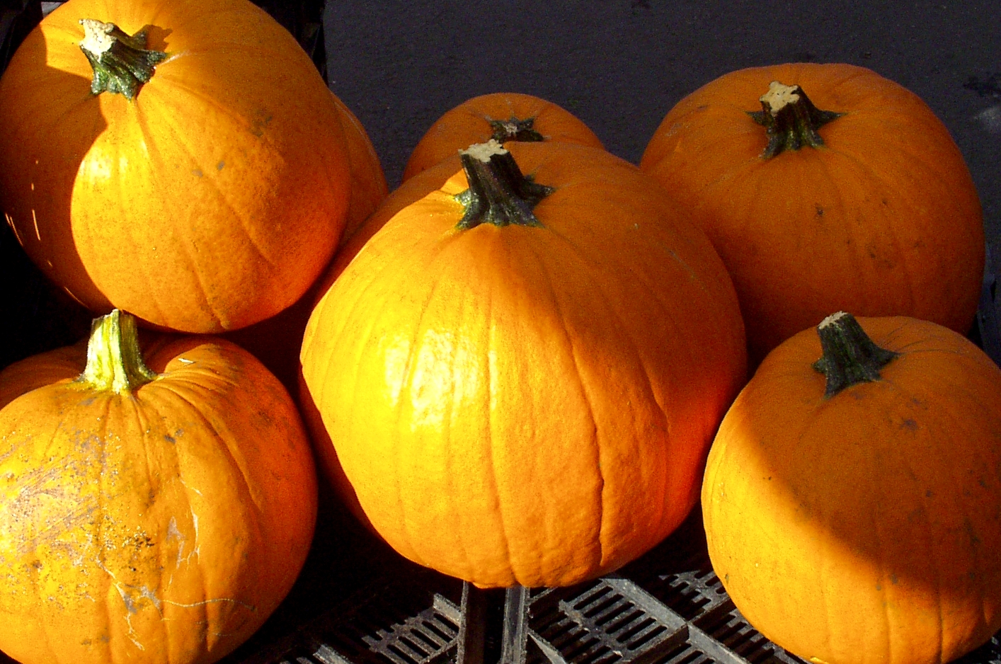 Curving pumpkins from Stoney Plains. Photo copyright 2009 by Zachary D. Lyons.