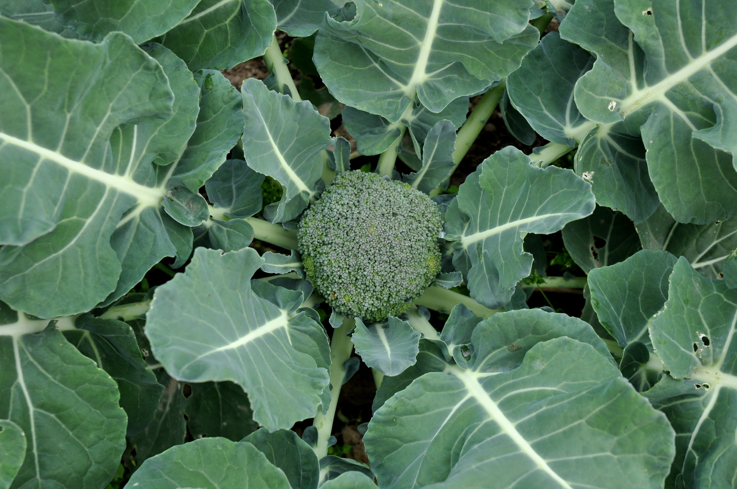 Broccoli in the field at Alm Hill Gardens. Copyright Zachary D. Lyons.