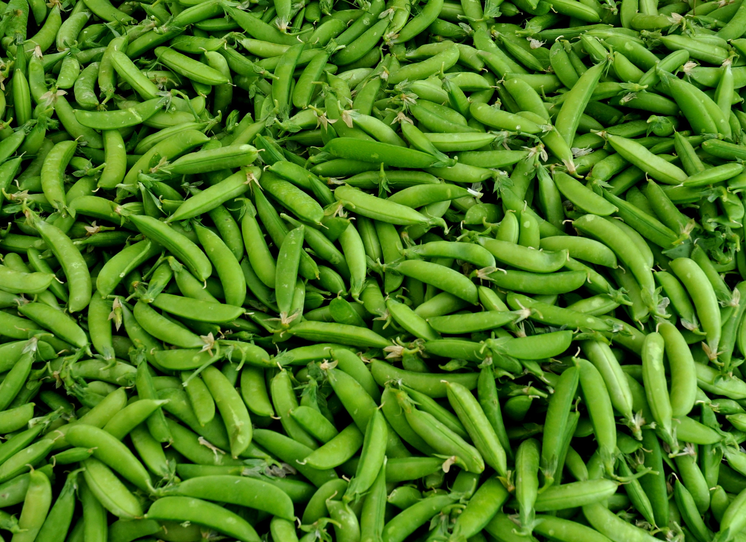 Sugar snap peas from Alvarez Organic Farms. Photo copyright 2013 by Zachary D. Lyons.