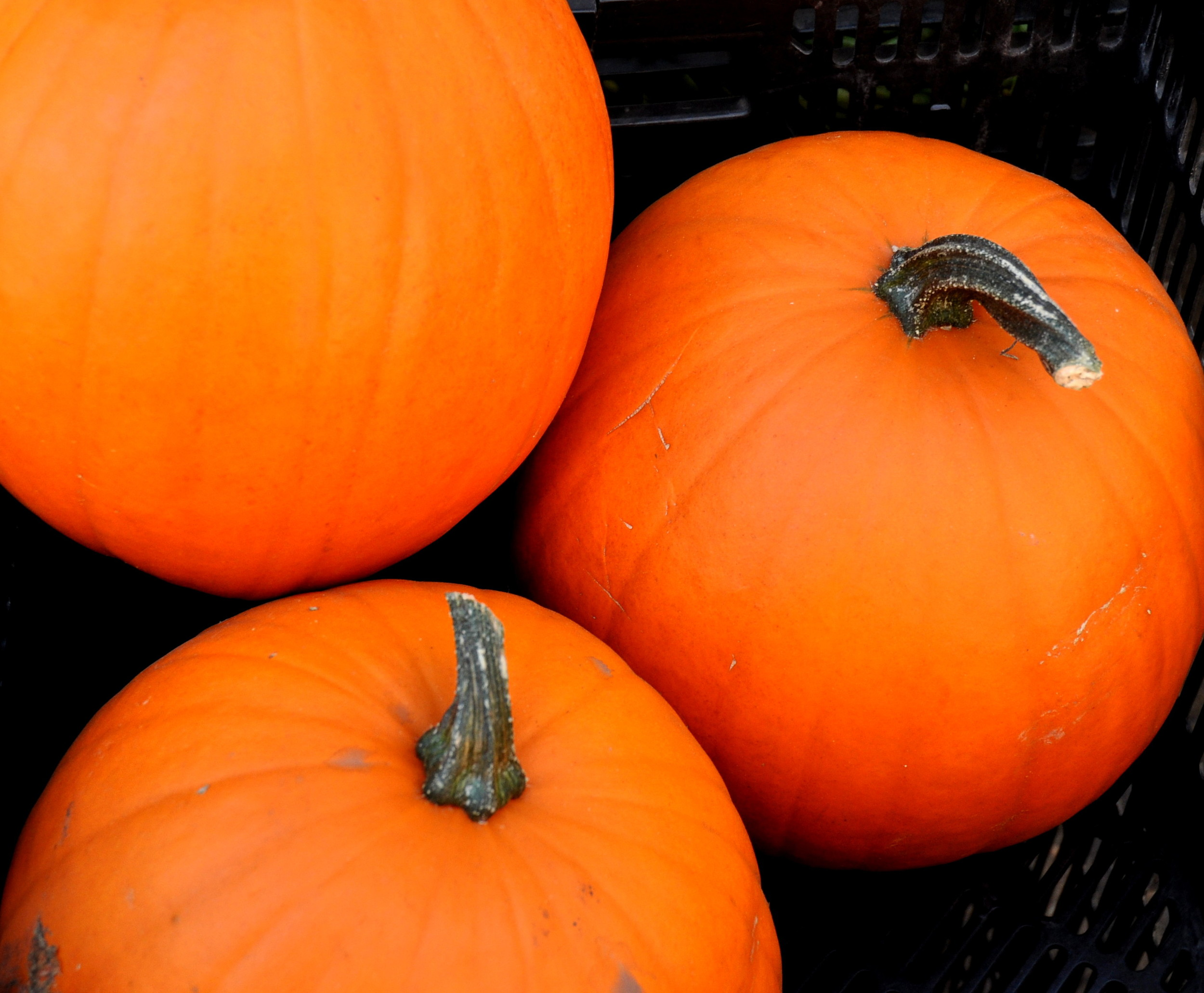 Jack-O-Lantern pumpkins from Stoney Plains Organic Farm at Ballard Farmers Market. Copyright Zachary D. Lyons.