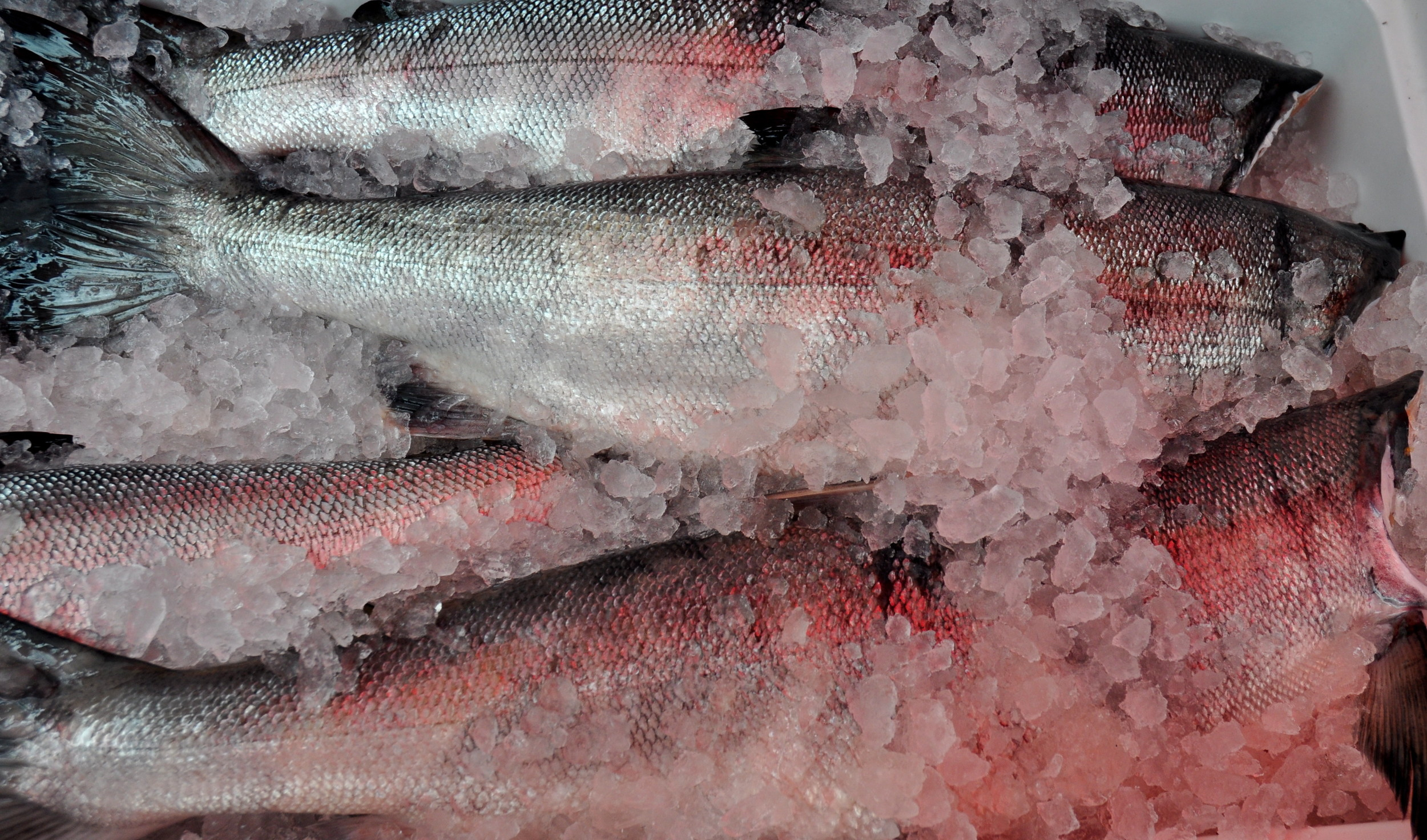 Fresh, whole, Puget Sound Keta salmon from Loki Fish. Photo copyright 2012 by Zachary D. Lyons.
