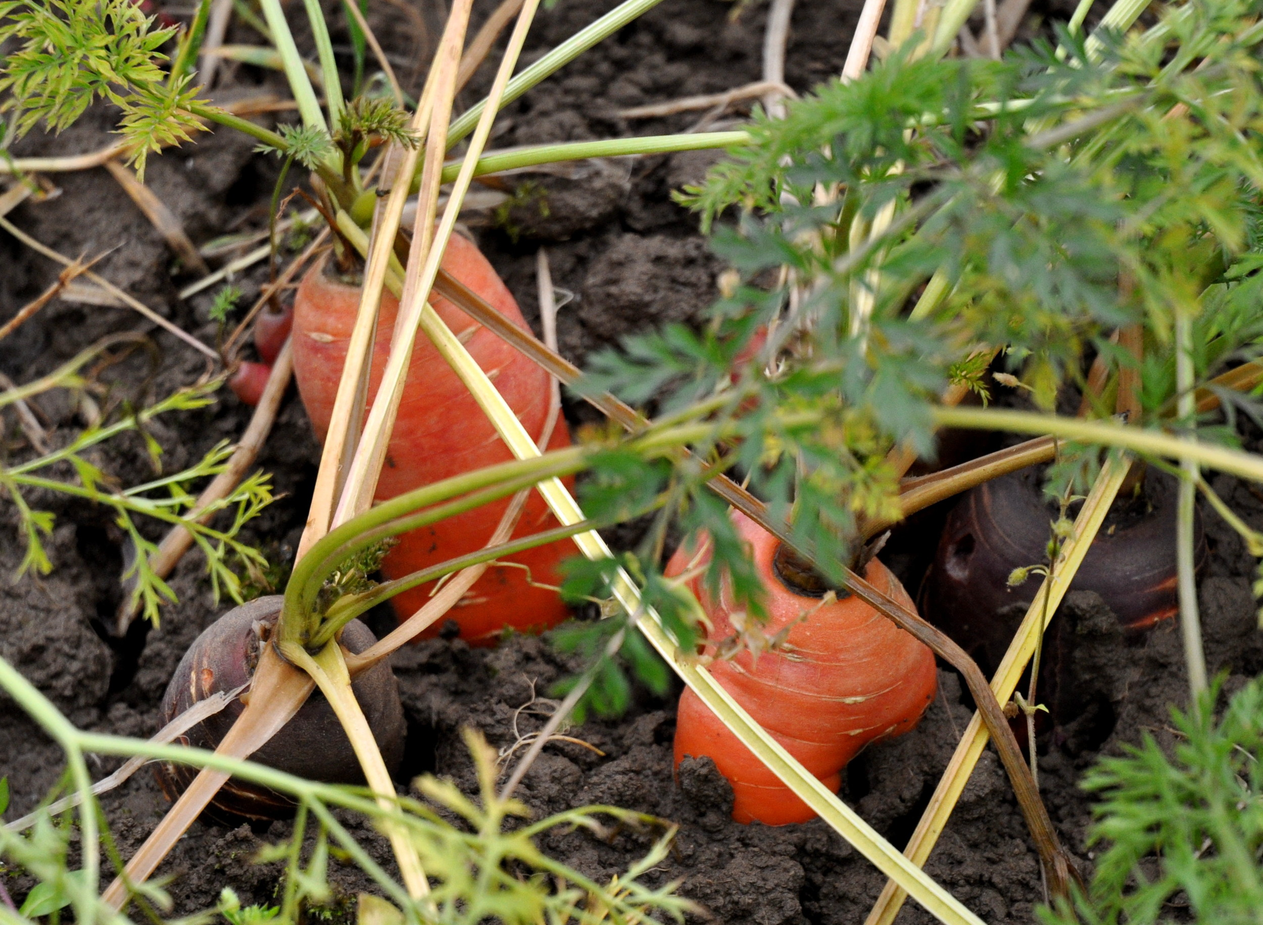 Carrots in the field at Oxbow Farm. Photo copyright 2012 by Zachary D. Lyons.