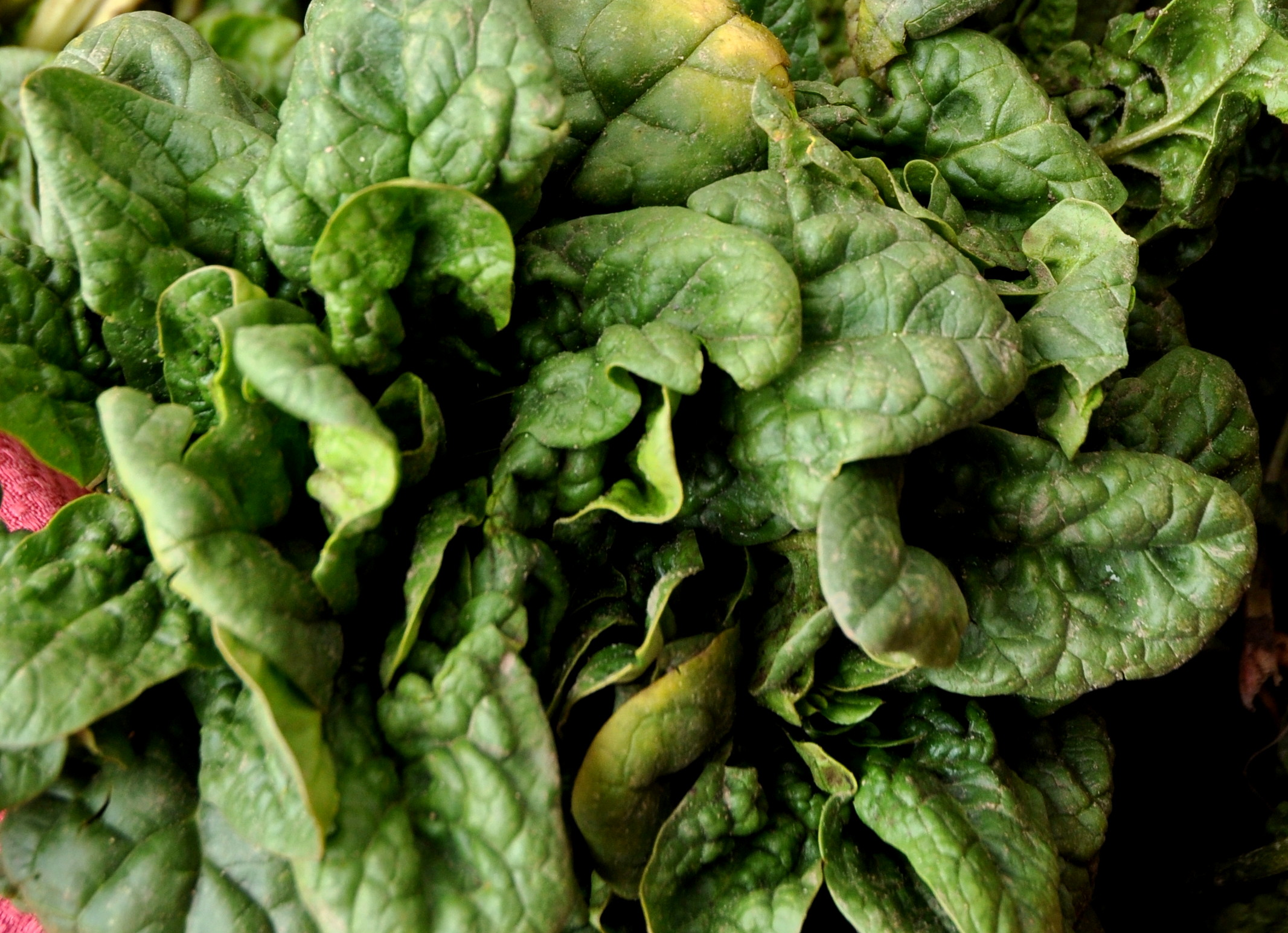 Winter spinach from Nash's Organic Produce. Photo copyright 2013 by Zachary D. Lyons.