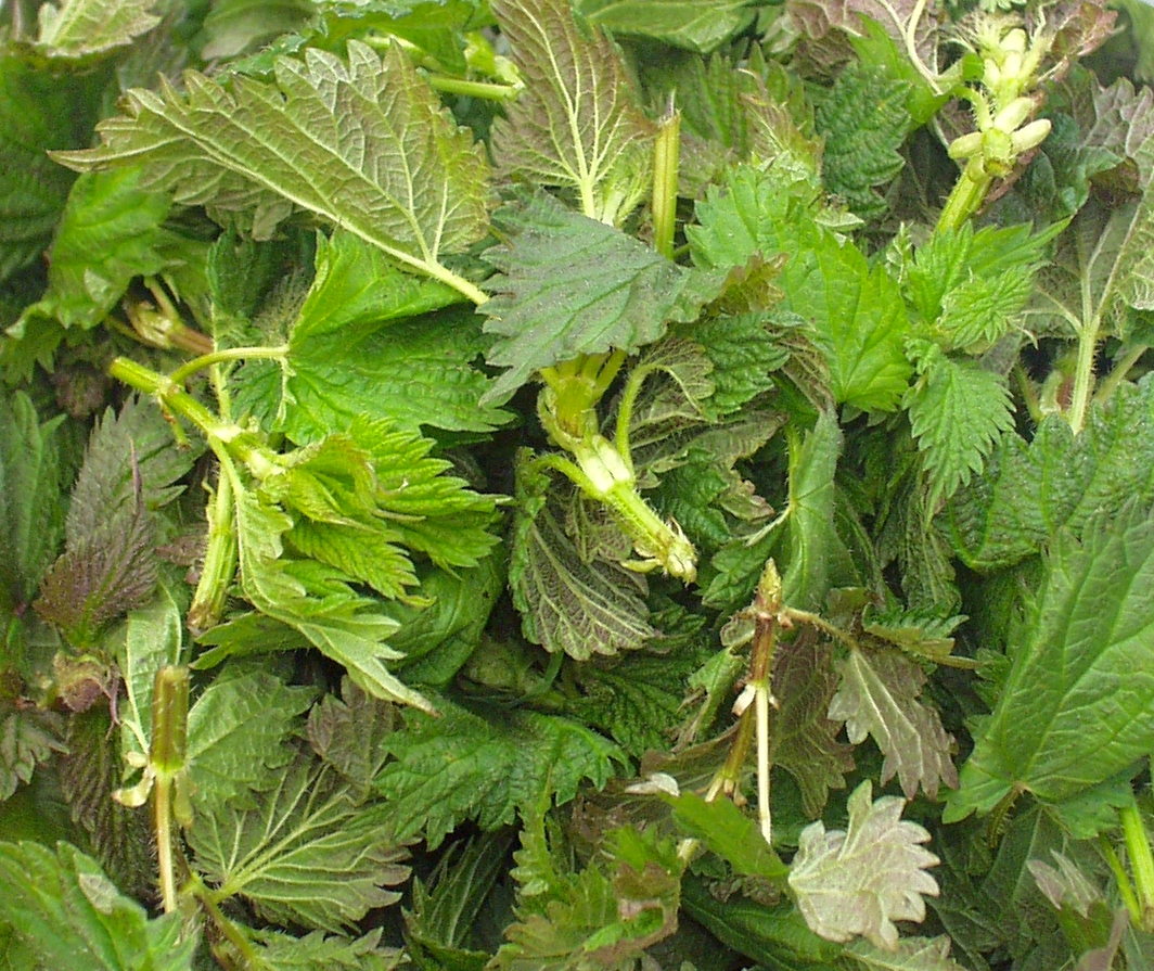 Stinging nettles from Foraged & Found Edibles. Photo copyright 2009 by Zachary D. Lyons.