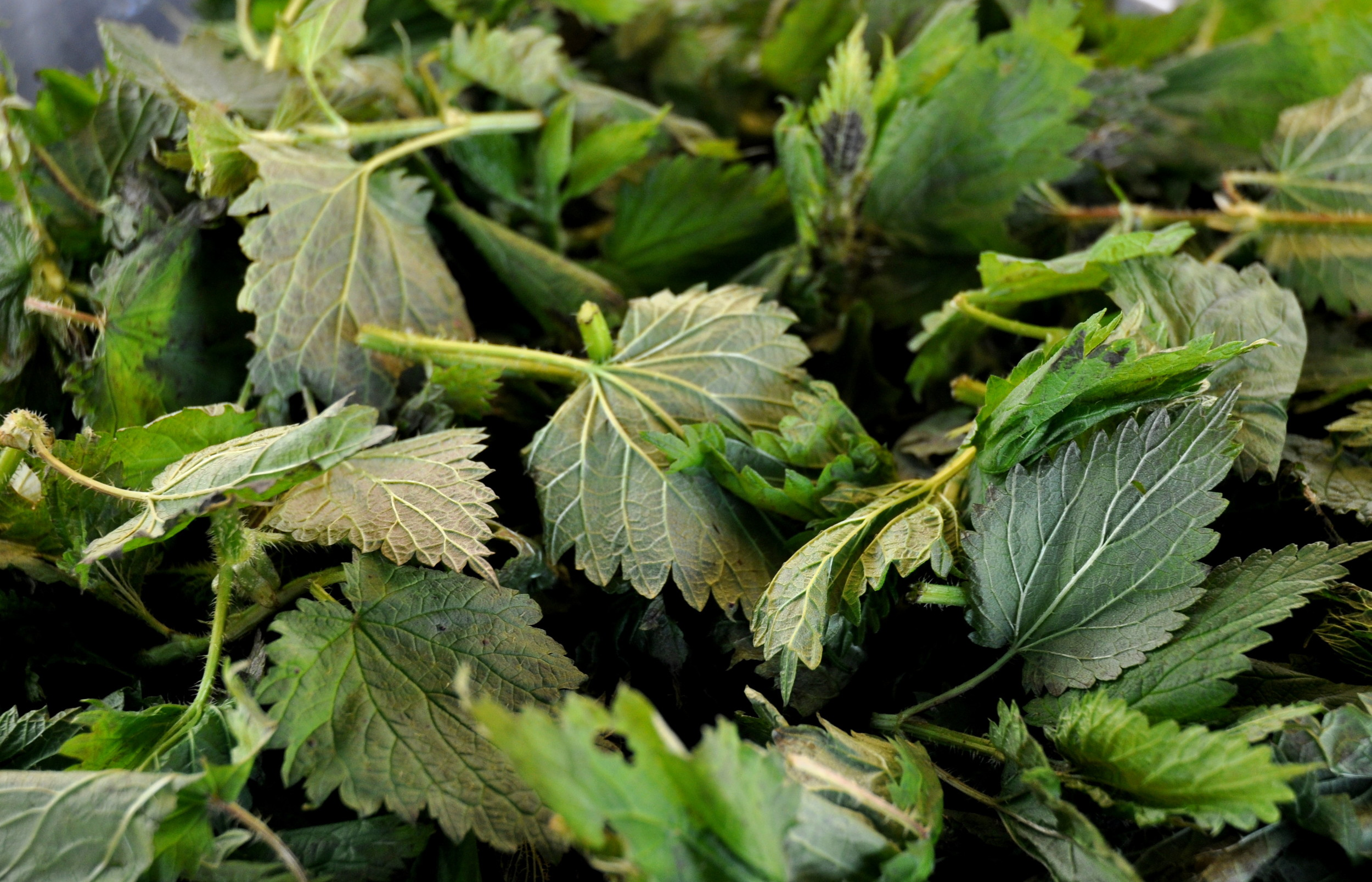 Nettles from Foraged & Found Edibles at Ballard Farmers Market. Copyright Zachary D. Lyons.