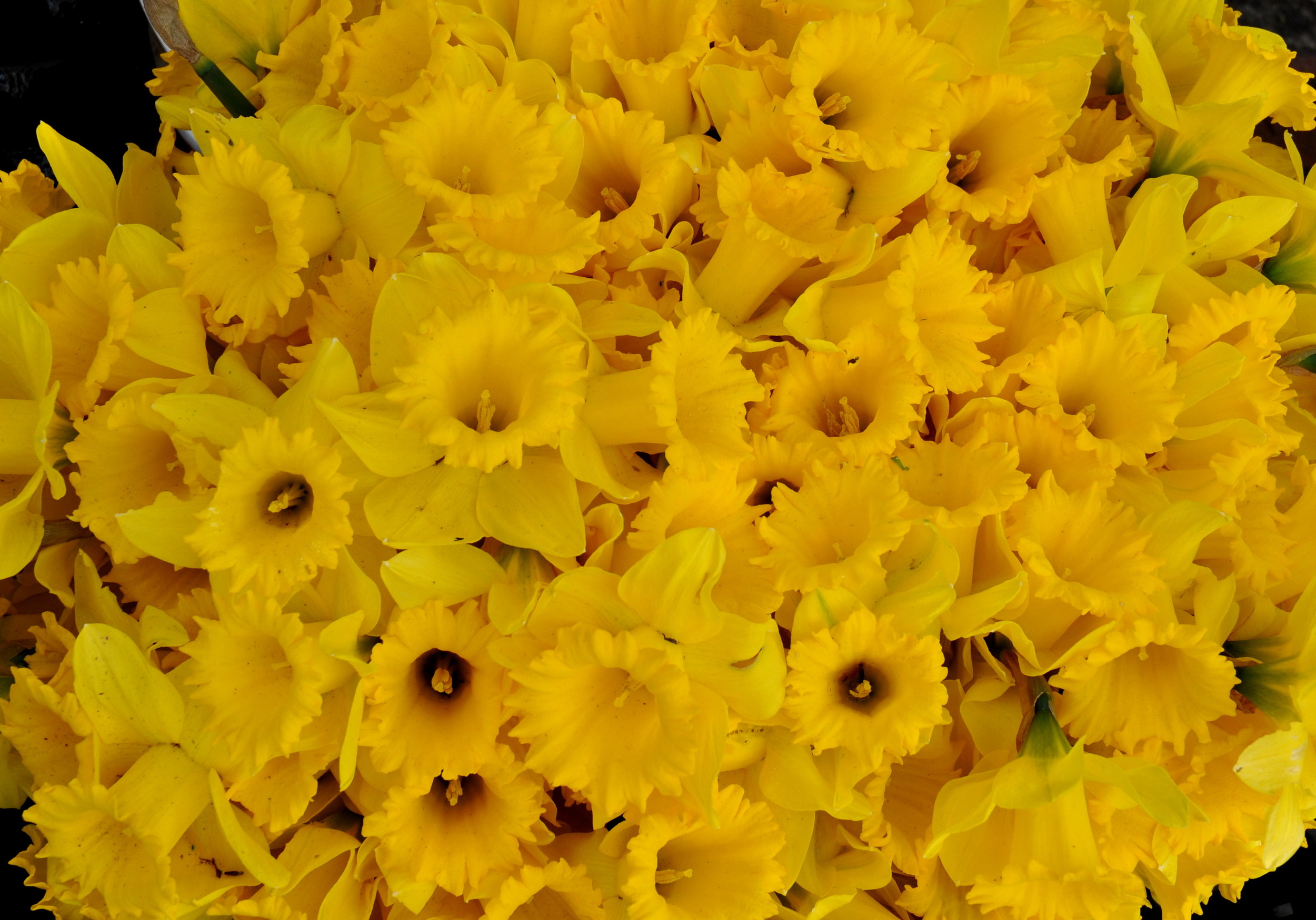 Daffodils from Mee Garden at Ballard Farmers Market. Copyright Zachary D. Lyons.