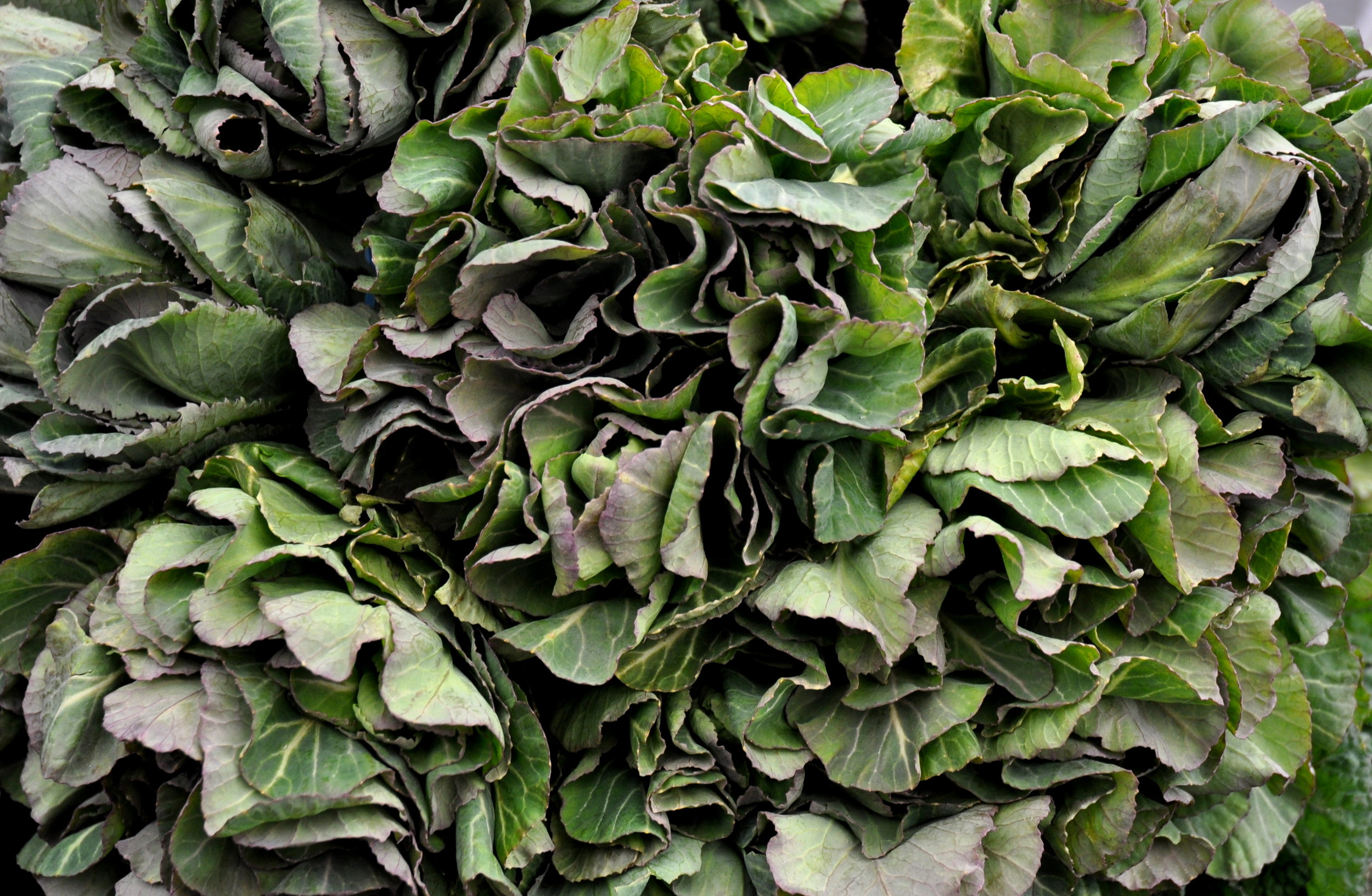 Cabbage greens from Stoney Plains Organic Farms. Photo copyright 2013 by Zachary D. Lyons.