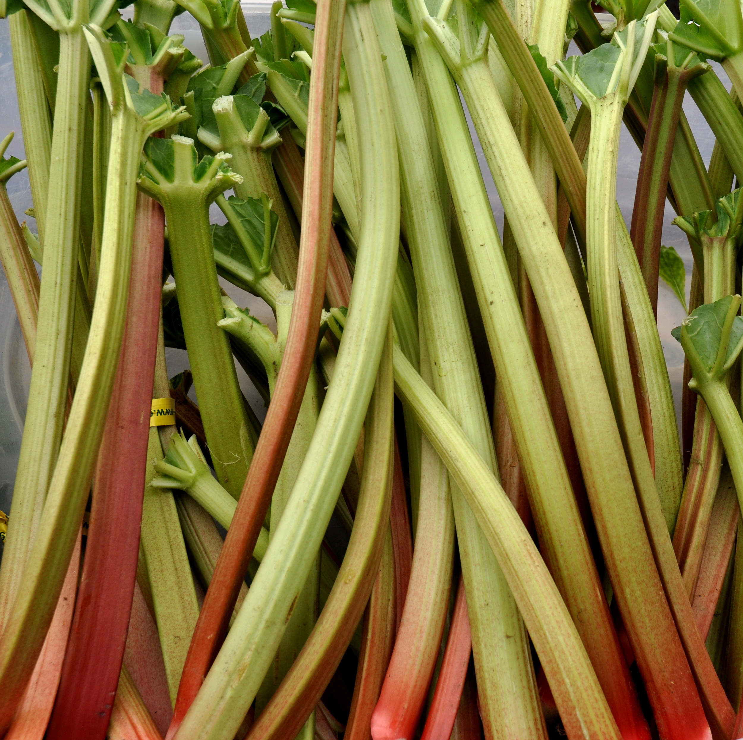 Early spring rhubarb from Alm Hill Gardens. Photo copyright 2013 by Zachary D. Lyons.