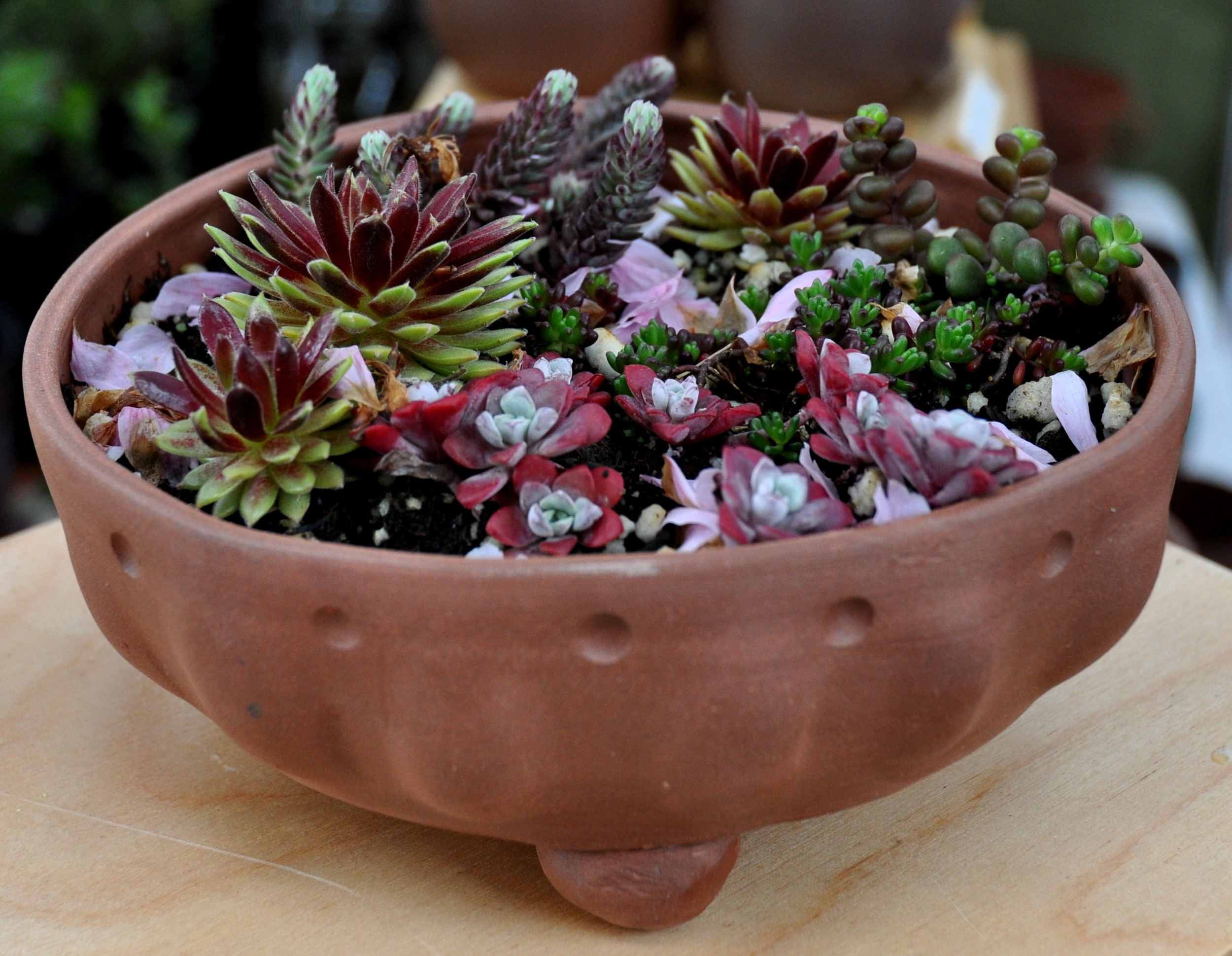 Phocas Farms succulents nestled in a Daily Bird Pottery planter. Photo copyright 2013 by Zachary D. Lyons.