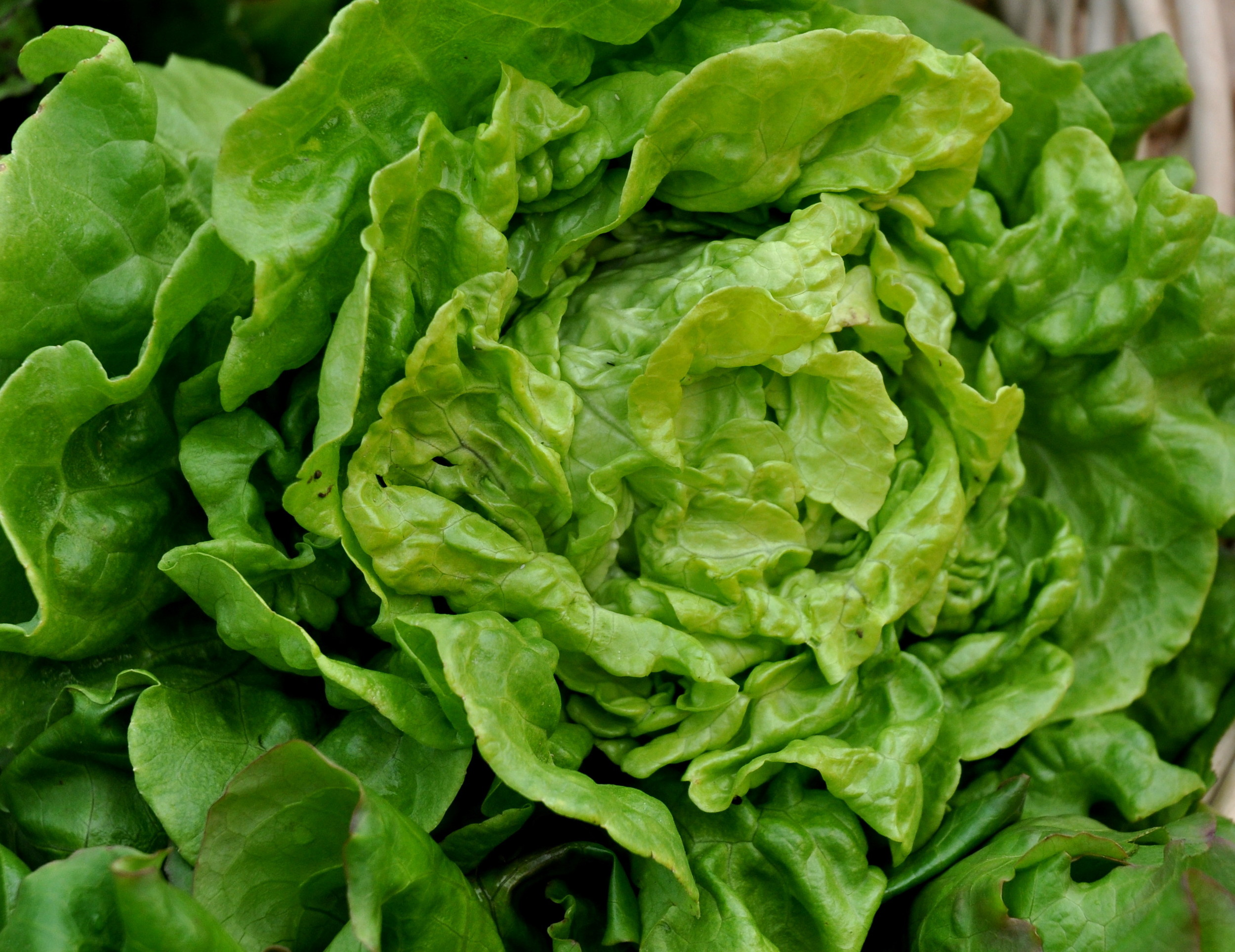 Tom Thumb lettuce from One Leaf Farm. Photo copyright 2012 by Zachary D. Lyons.