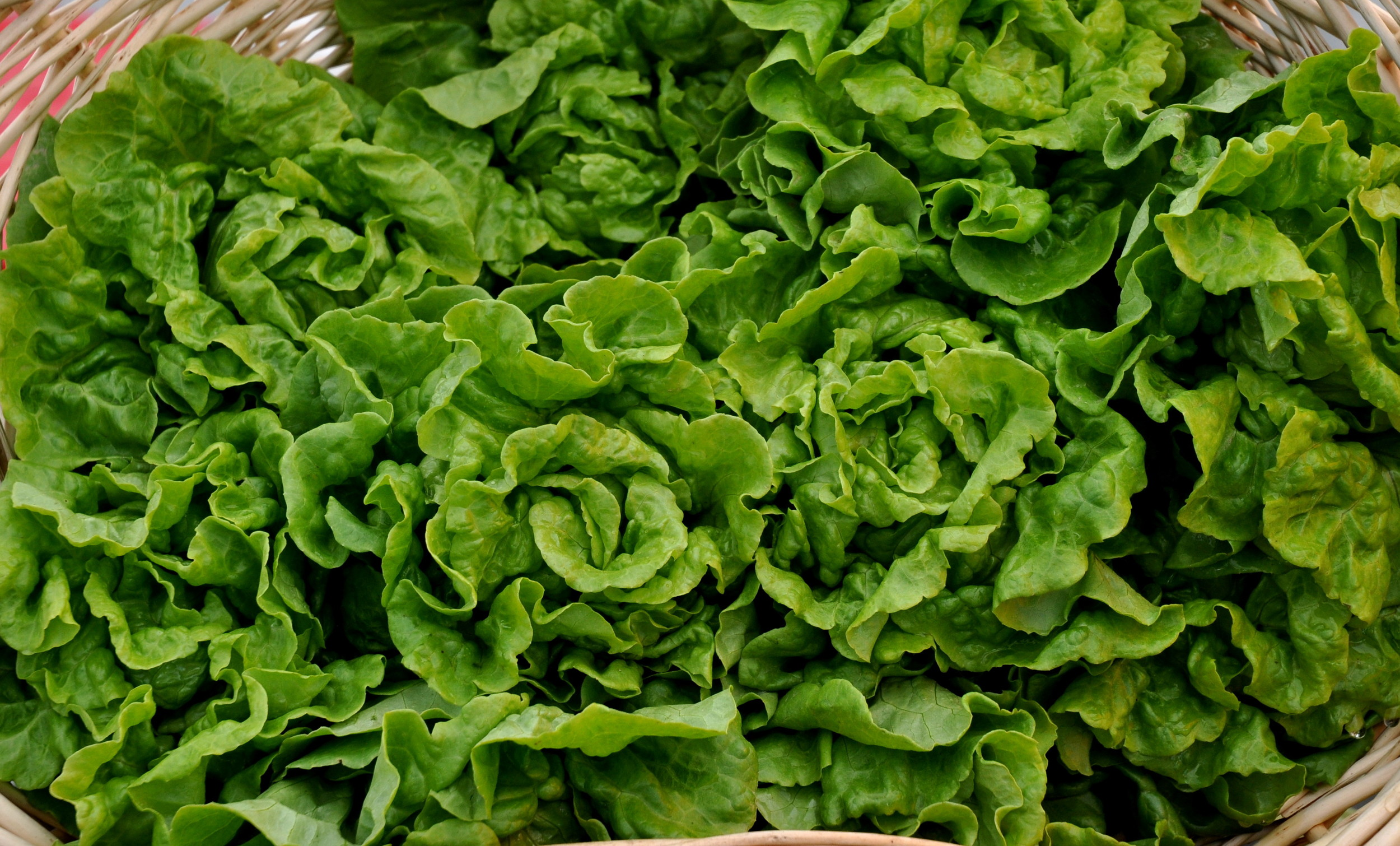 Tom Thumb lettuce from One Leaf Farm. Photo copyright 2013 by Zachary D. Lyons.