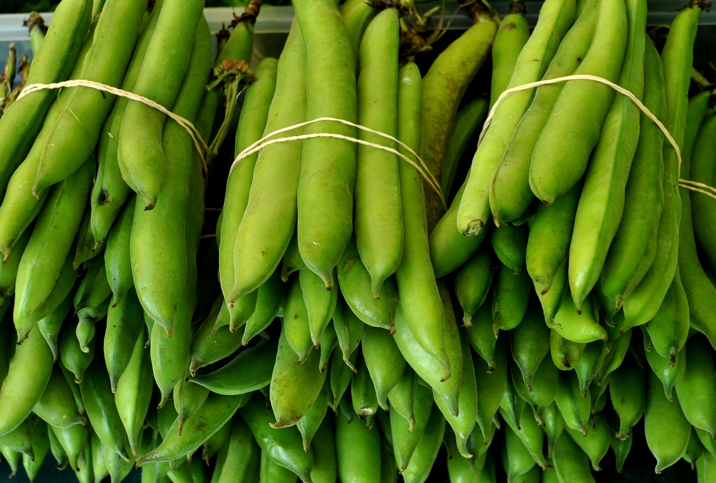 Fresh fava beans from Children's Garden. Photo copyright 2013 by Zachary D. Lyons.