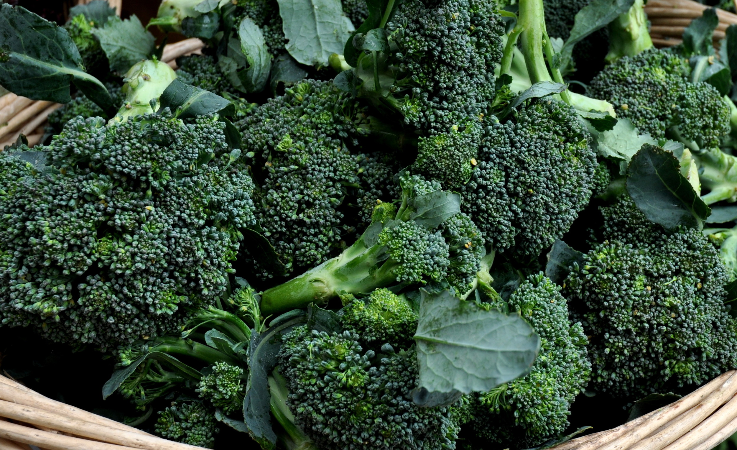 Broccoli from Oxbow Farm. Photo copyright 2013 by Zachary D. Lyons.