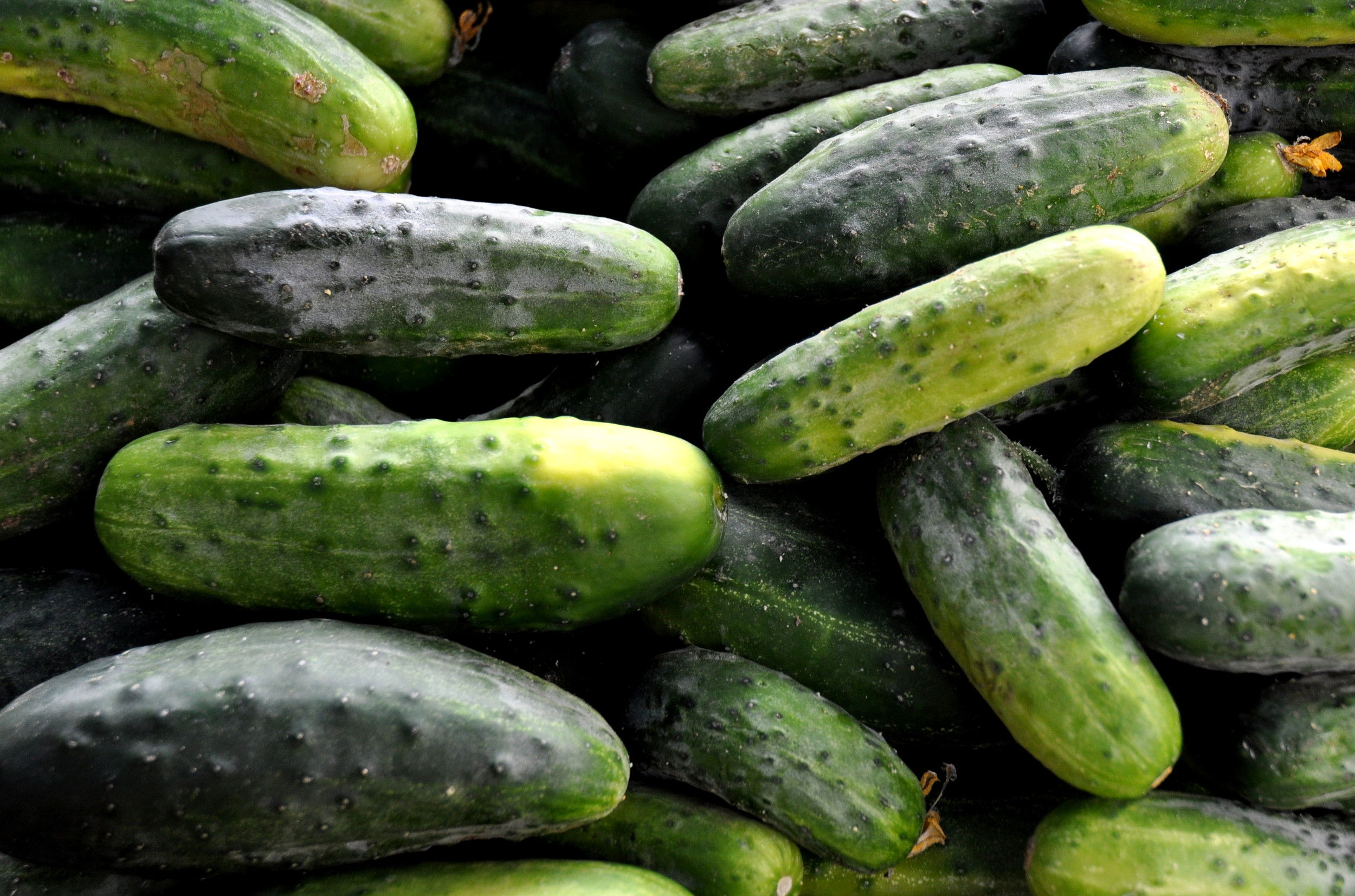Pickling cucumbers from Alvarez Organic Farms. Photo copyright 2013 by Zachary D. Lyons.