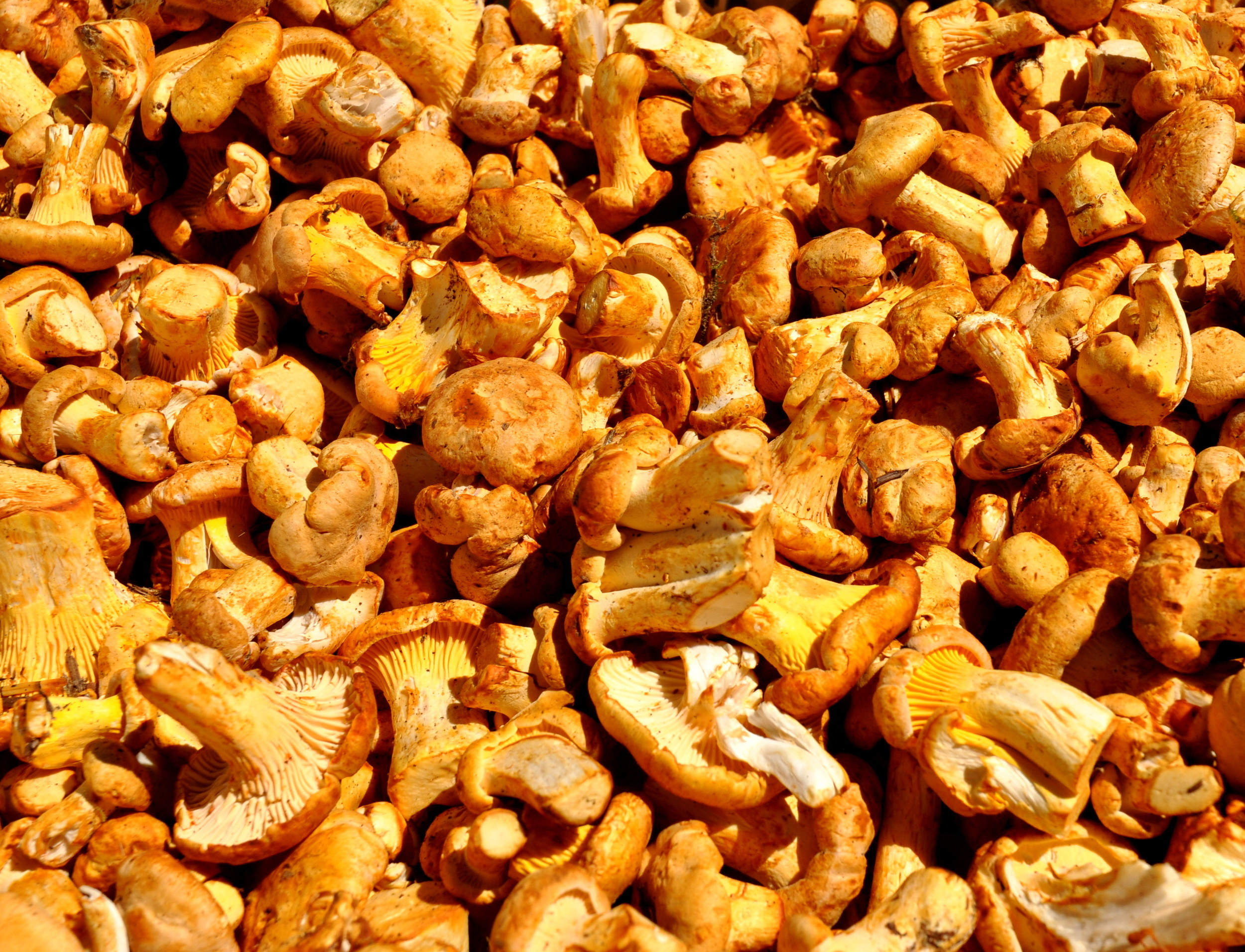 Summer chanterelle mushrooms from Foraged & Found Edibles. Photo copyright 2013 by Zachary D. Lyons.