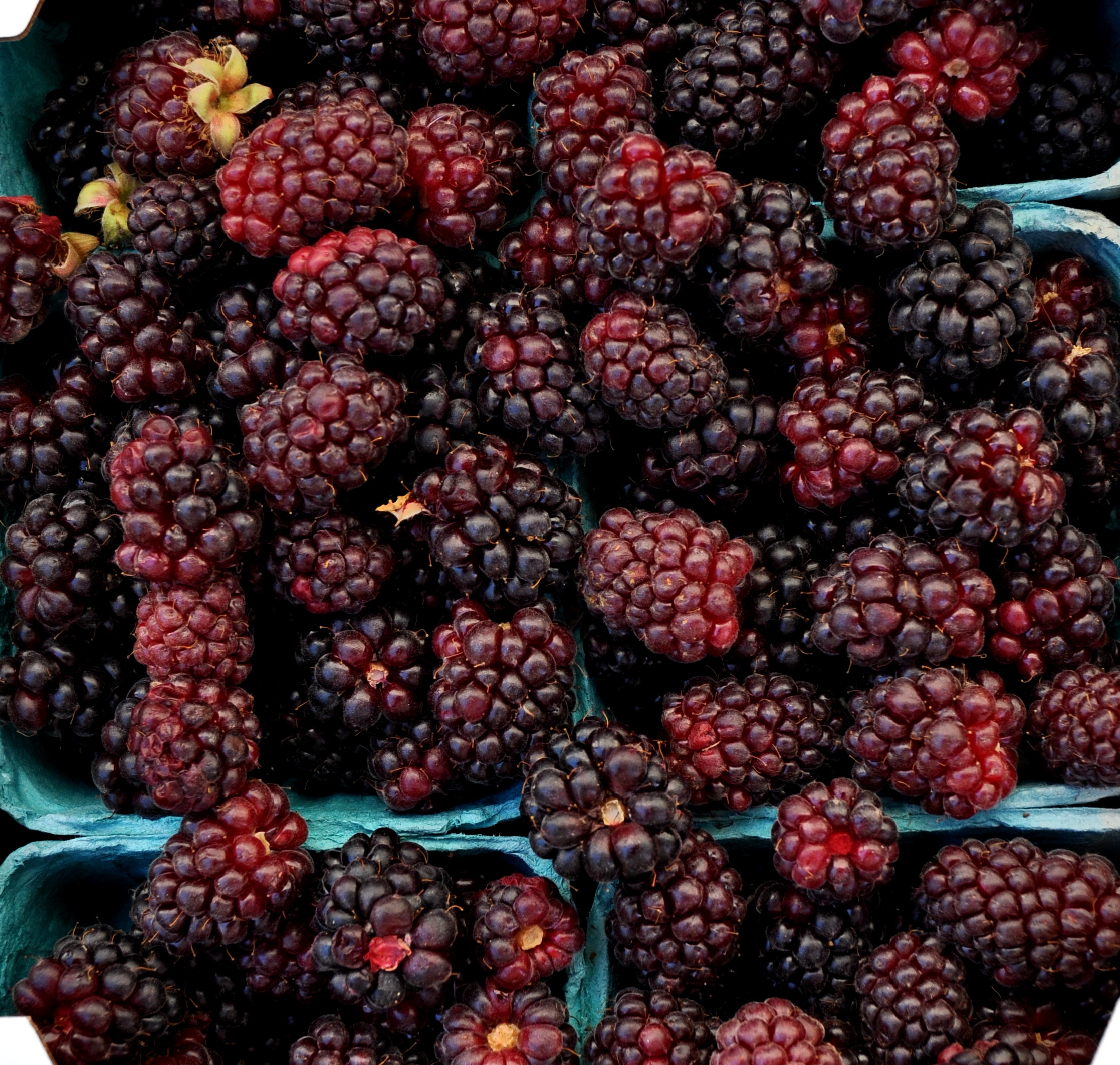 Boysenberries from Jessie's Berries. Photo copyright 2013 by Zachary D. Lyons.