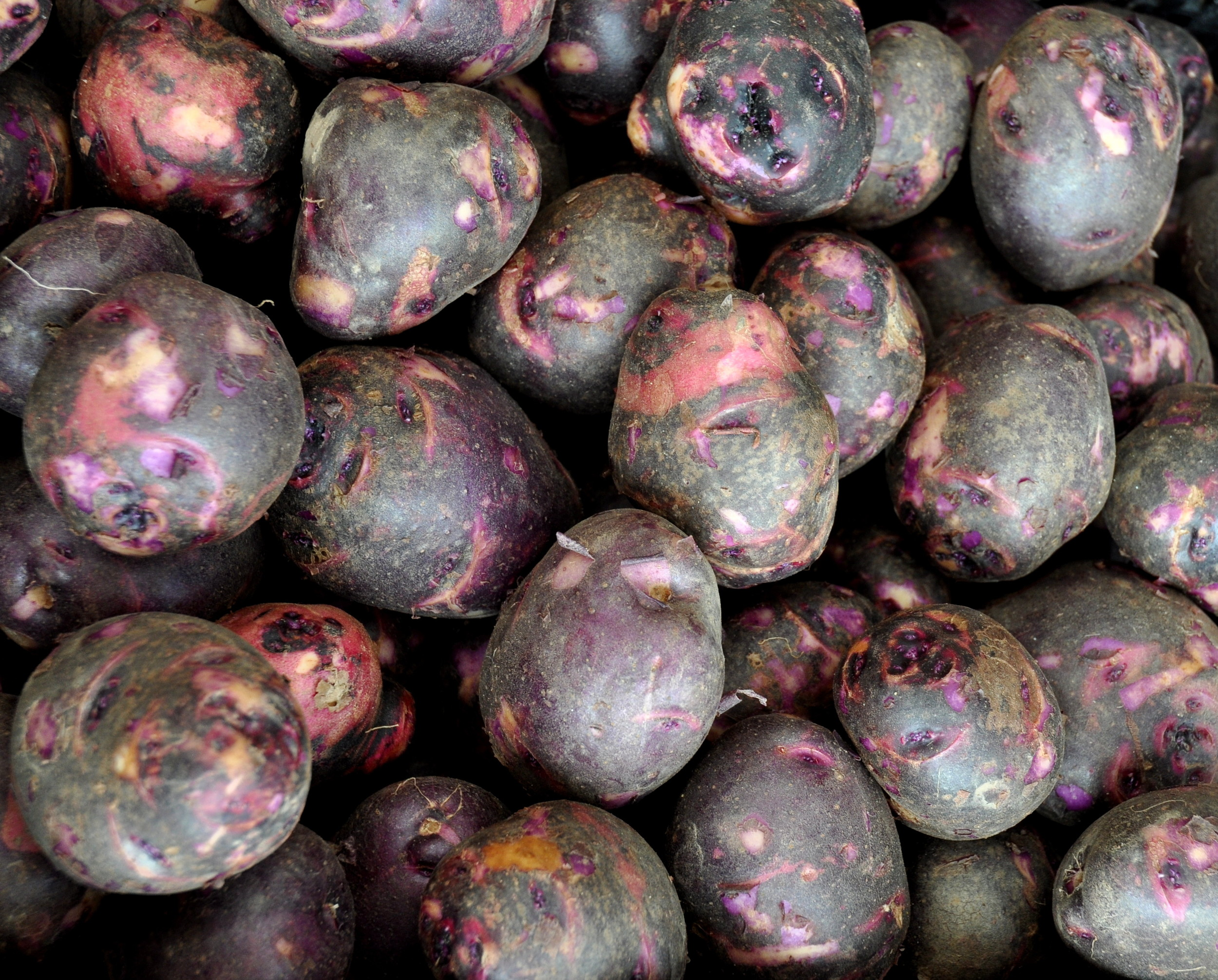 Viking purple potatoes from Olsen Farms. Photo copyright 2013 by Zachary D. Lyons.