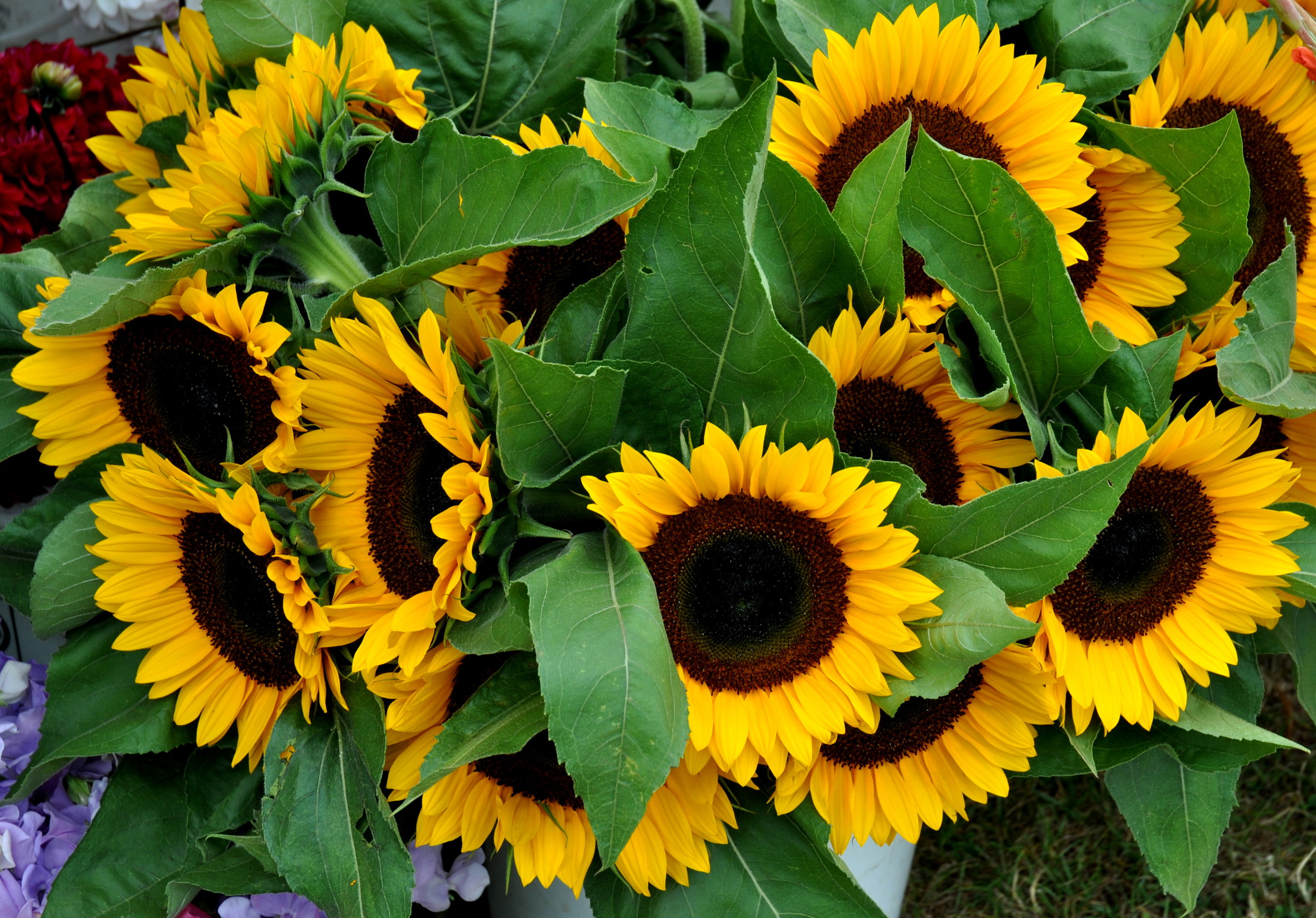Sunflowers from Pa Garden. Photo copyright 2013 by Zachary D. Lyons.
