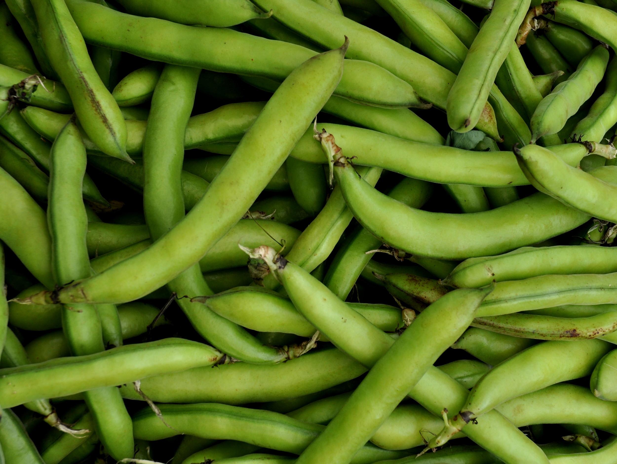 Fava beans from Stoney Plains Organic Farms. Photo copyright 2013 by Zachary D. Lyons.
